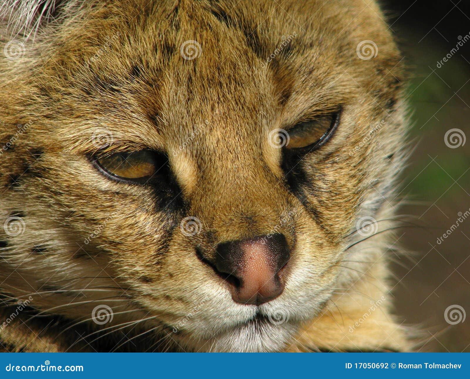 ρύγχος serval