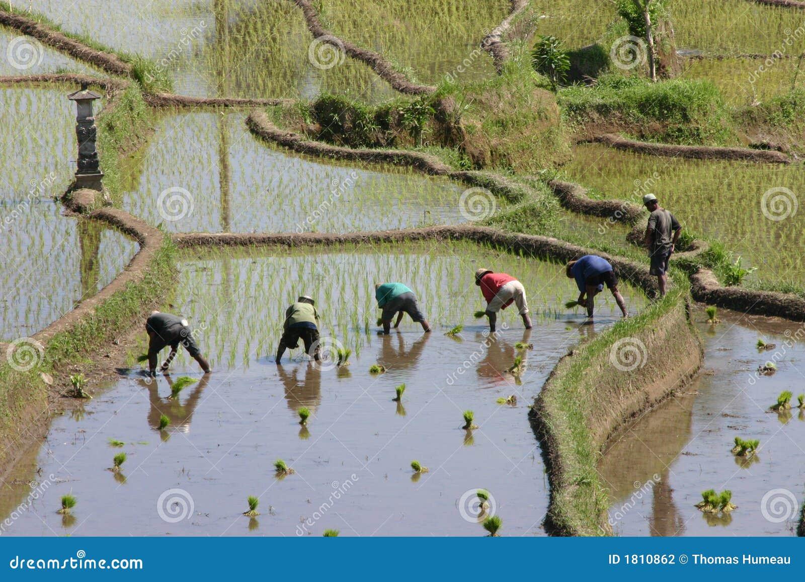 ρύζι ορυζώνων
