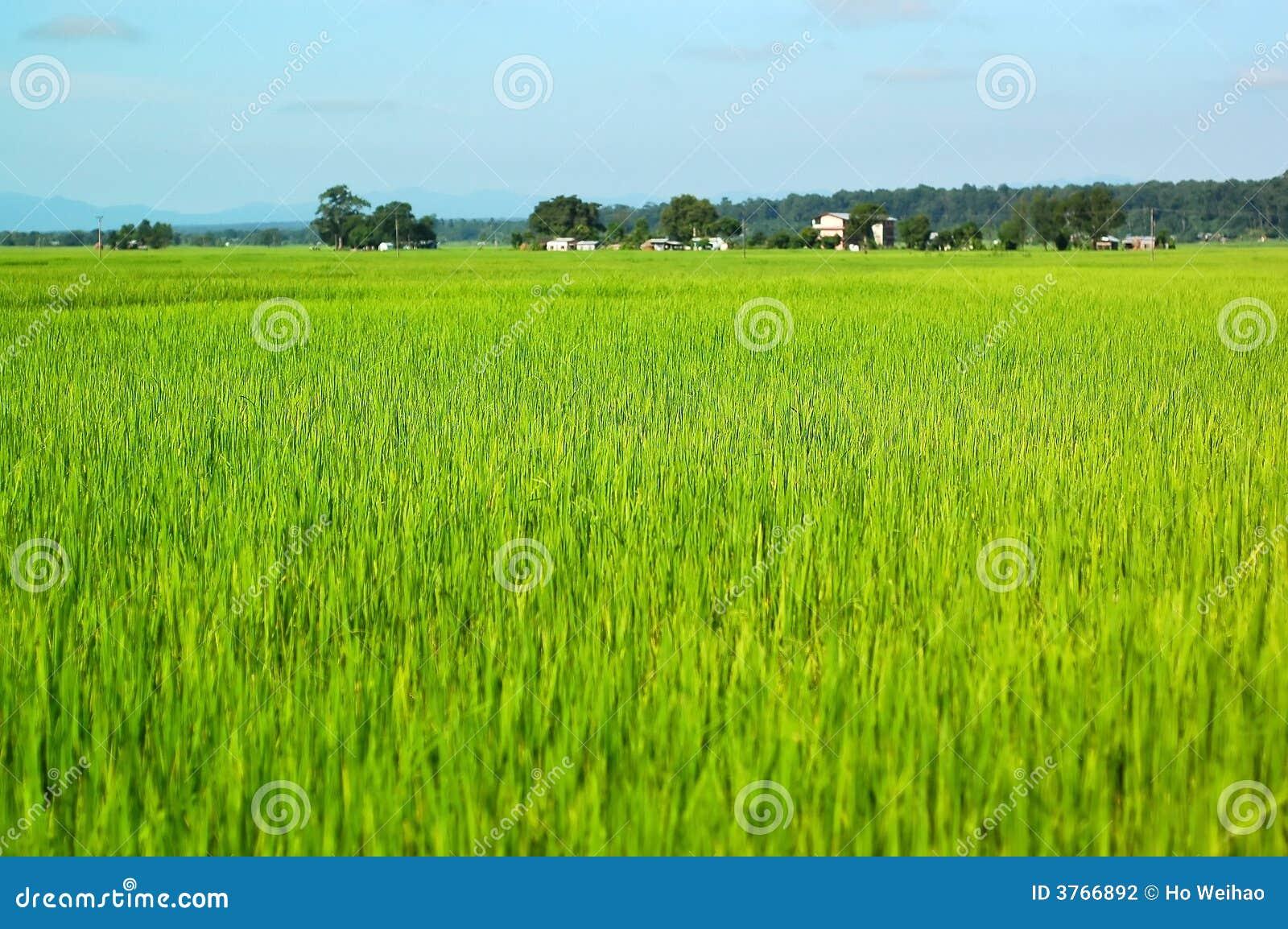 ρύζι πεδίων