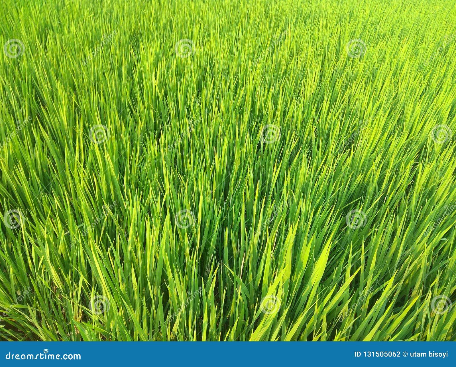 Ρύζι που γεμίζουν