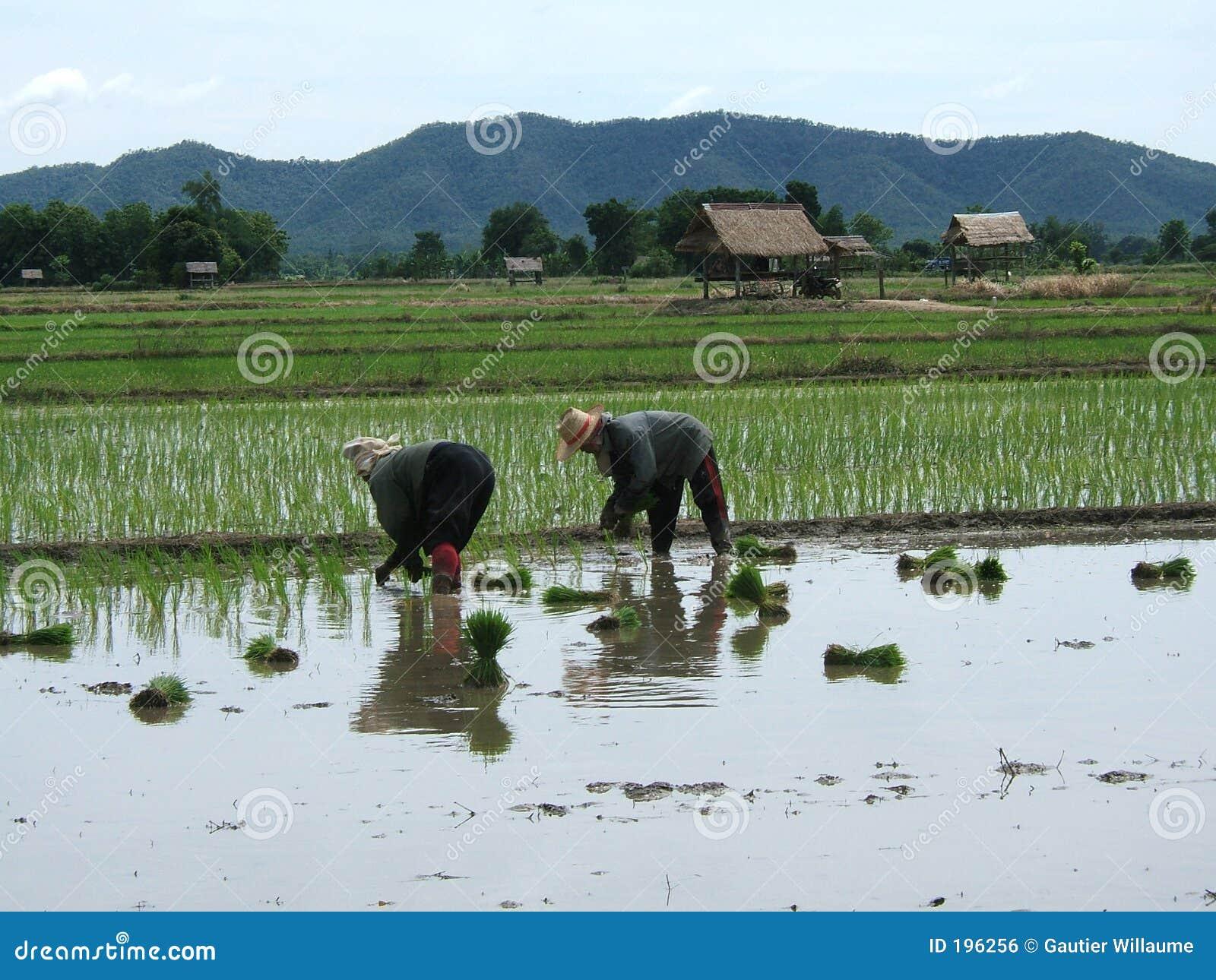 ρύζι φυτειών της Ασίας