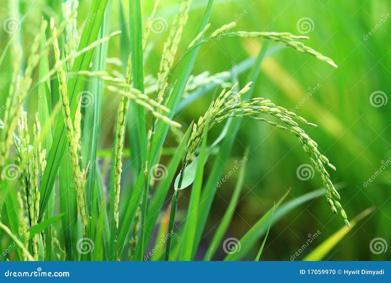 ρύζι φυτών ορυζώνα κινηματ&omicr