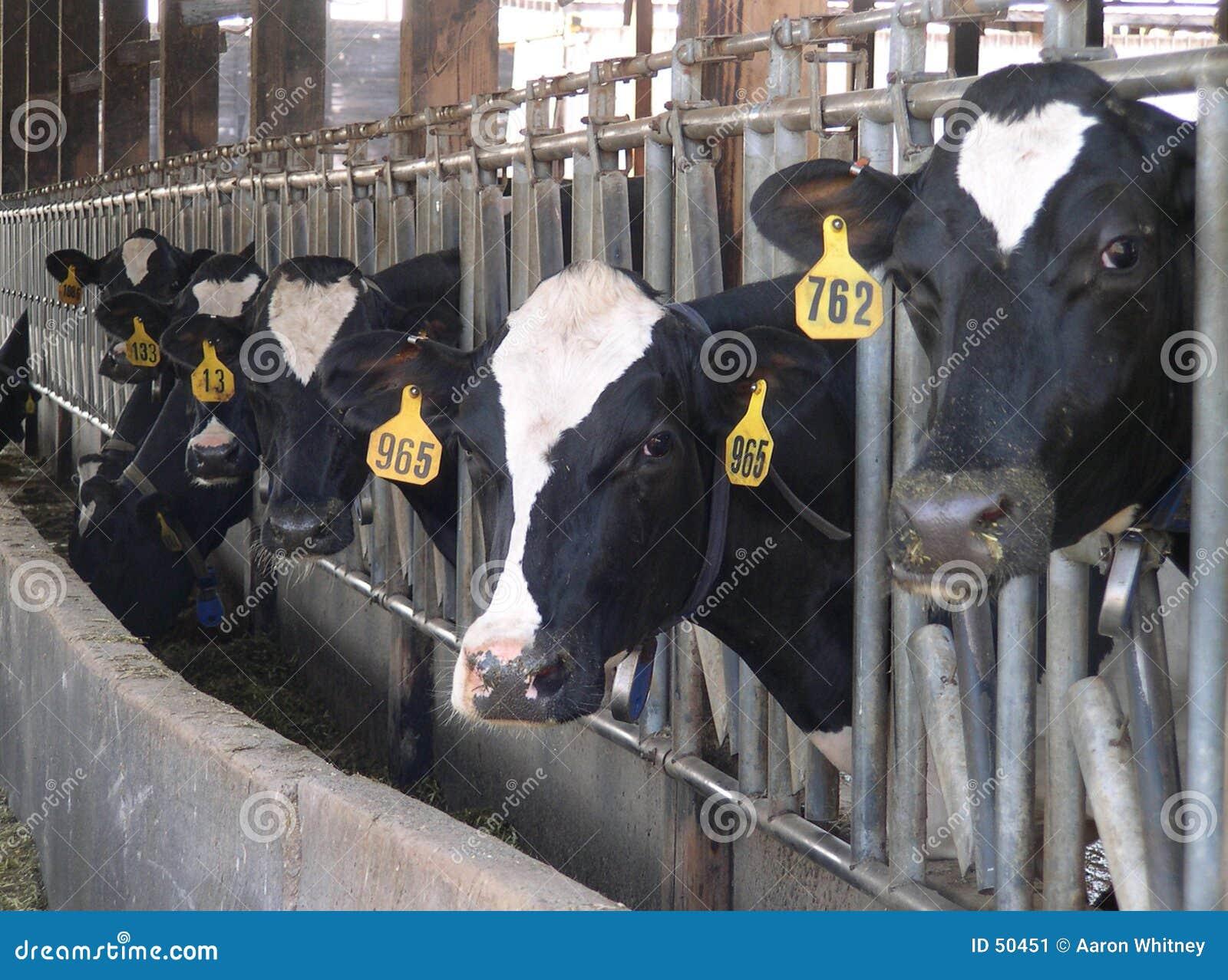 σίτιση αγελάδων