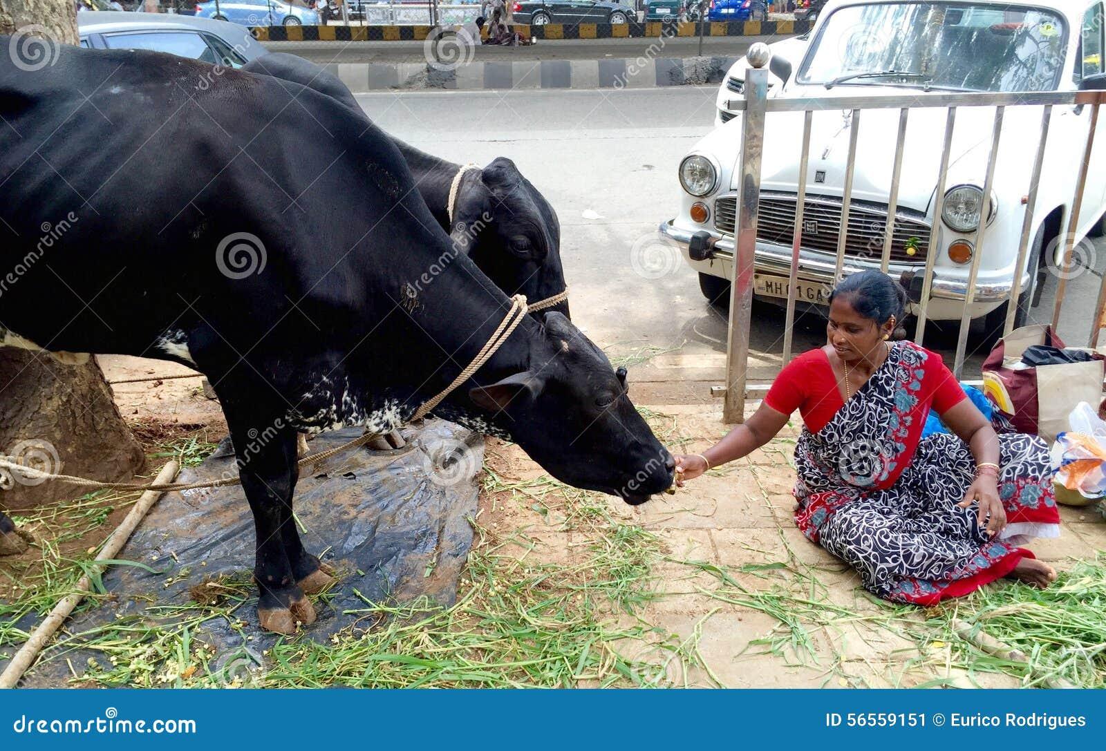 Download Σίτιση μιας αγελάδας ναών εκδοτική εικόνες. εικόνα από ναός - 56559151