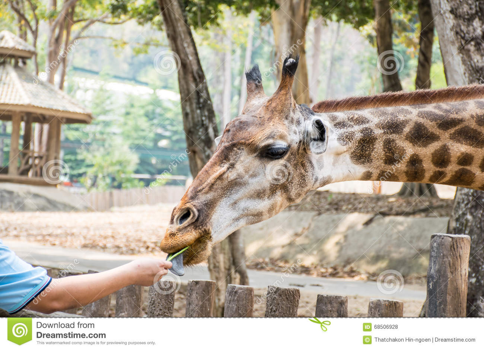 Σίτιση giraffes στο σαφάρι