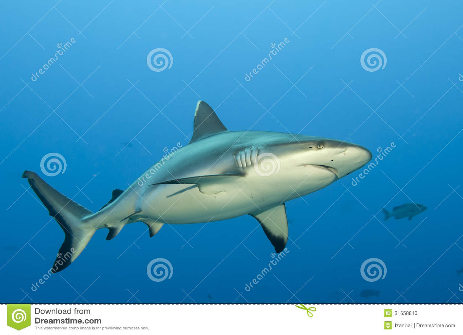 Σαγόνια γκρίζα καρχαριών έτοιμα να επιτεθούν στο υποβρύχιο στενό επάνω πορτρέτο