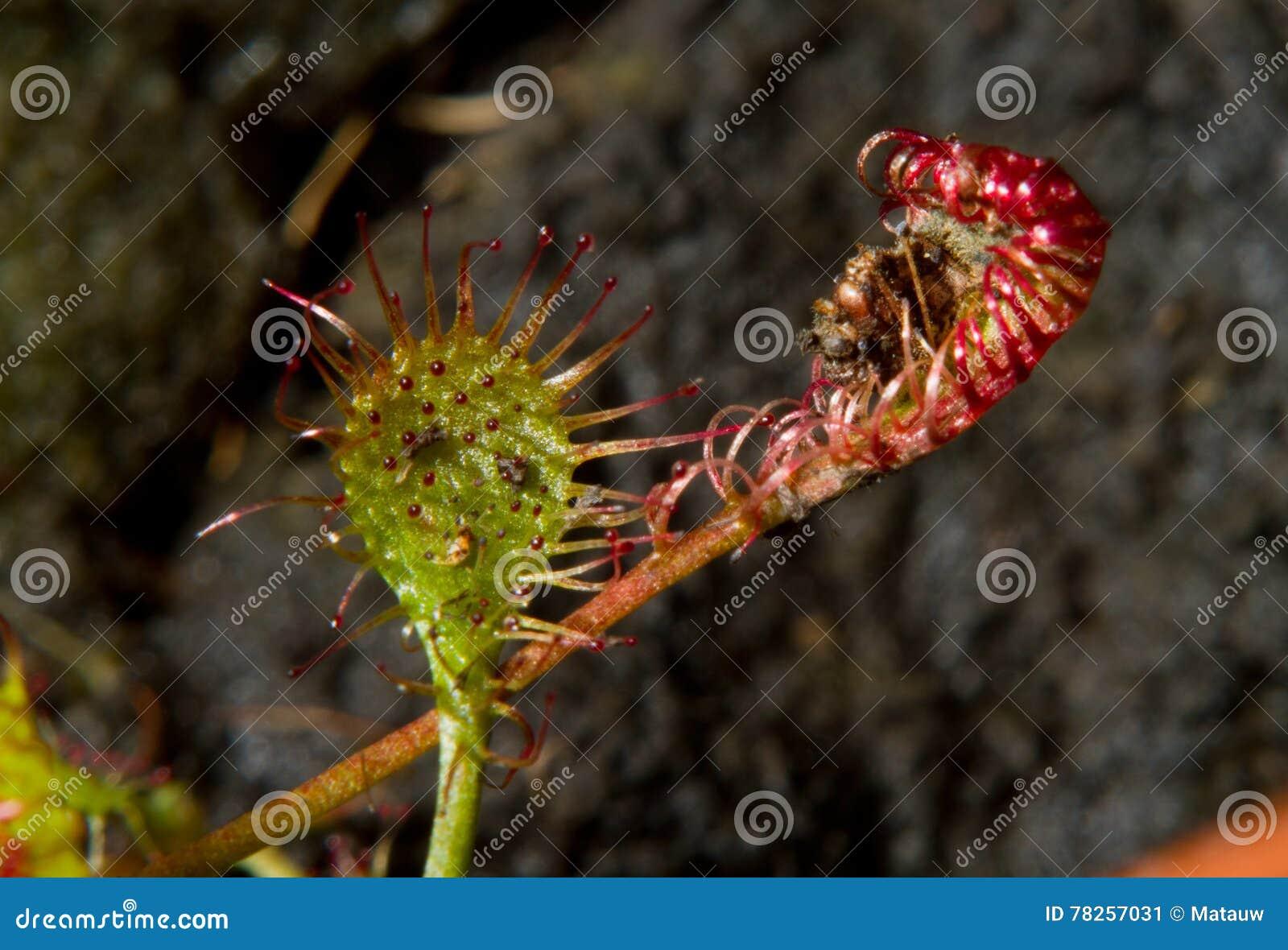 σαρκοφάγο φυτό