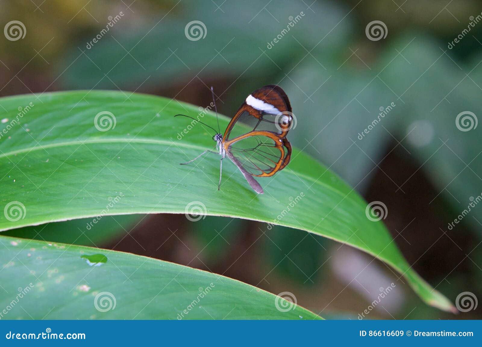 Σαφής πεταλούδα