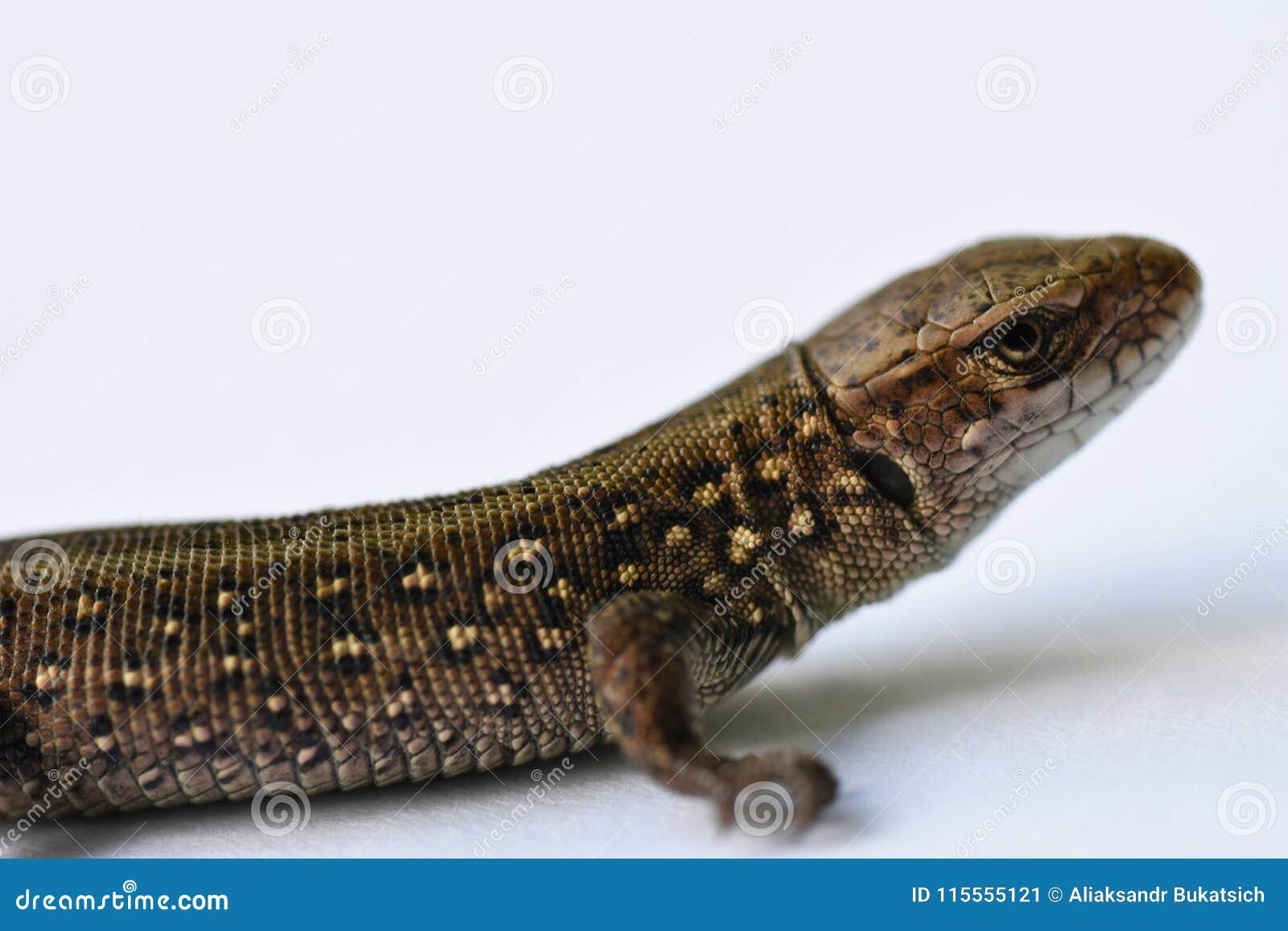 Σαύρα, αρπακτικό ζώο, κυνήγι, ερπετά, salamander, αγαθά δέρματος, κυνήγι, δέρμα προβλήματος, μεταβαλλόμενη εμφάνιση, αυξανόμενα μ