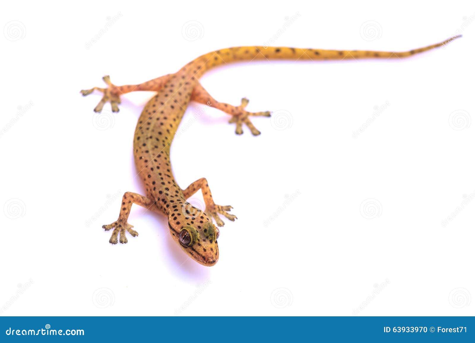 Σαύρα Gecko που απομονώνεται στο λευκό