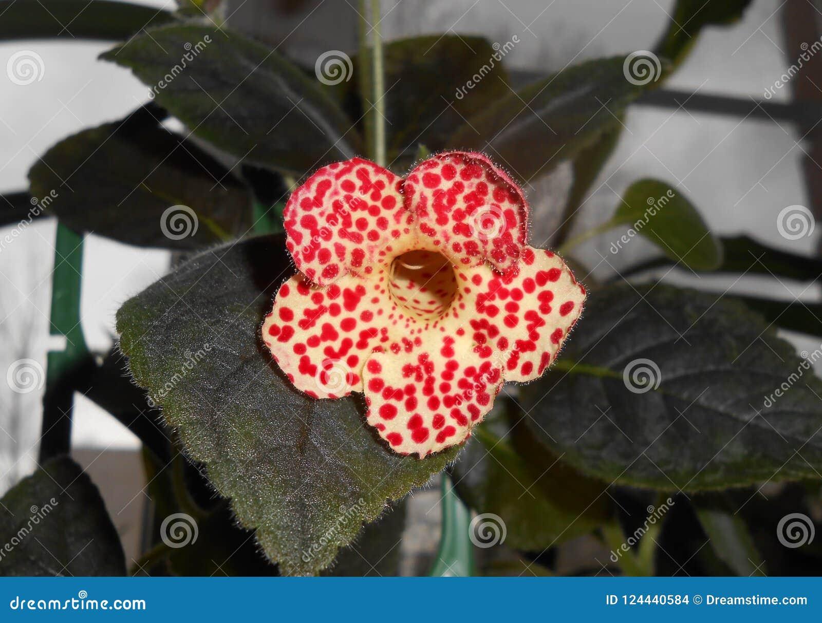 Σε δοχείο λουλούδι-caleria Τα κόκκινα κουδούνια