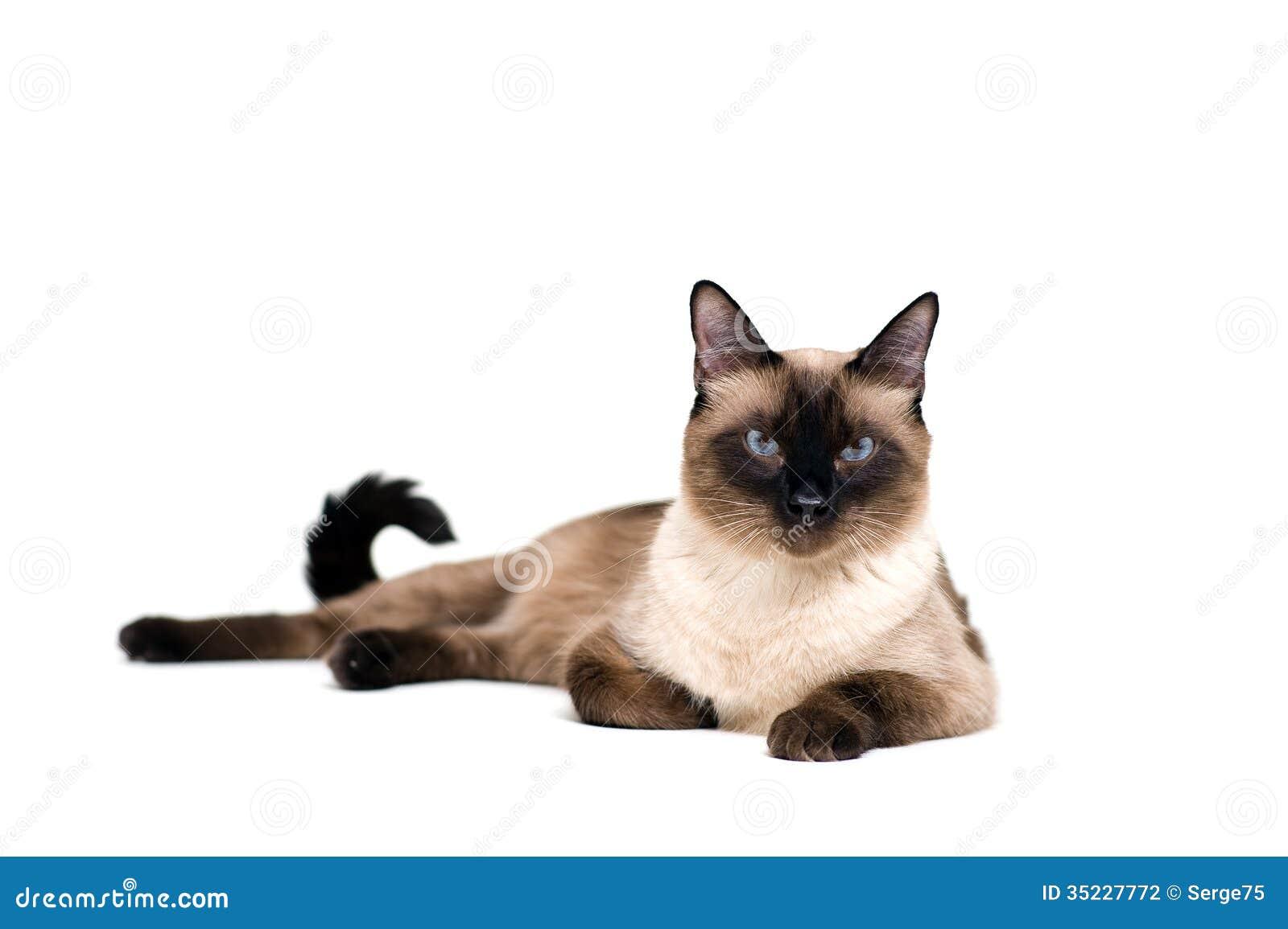 Σιαμέζα γάτα