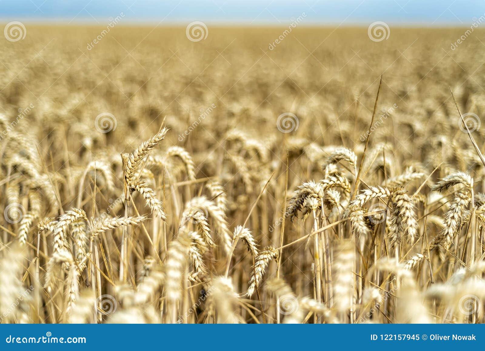 Σιτάρι σε έναν τομέα στην Ευρώπη