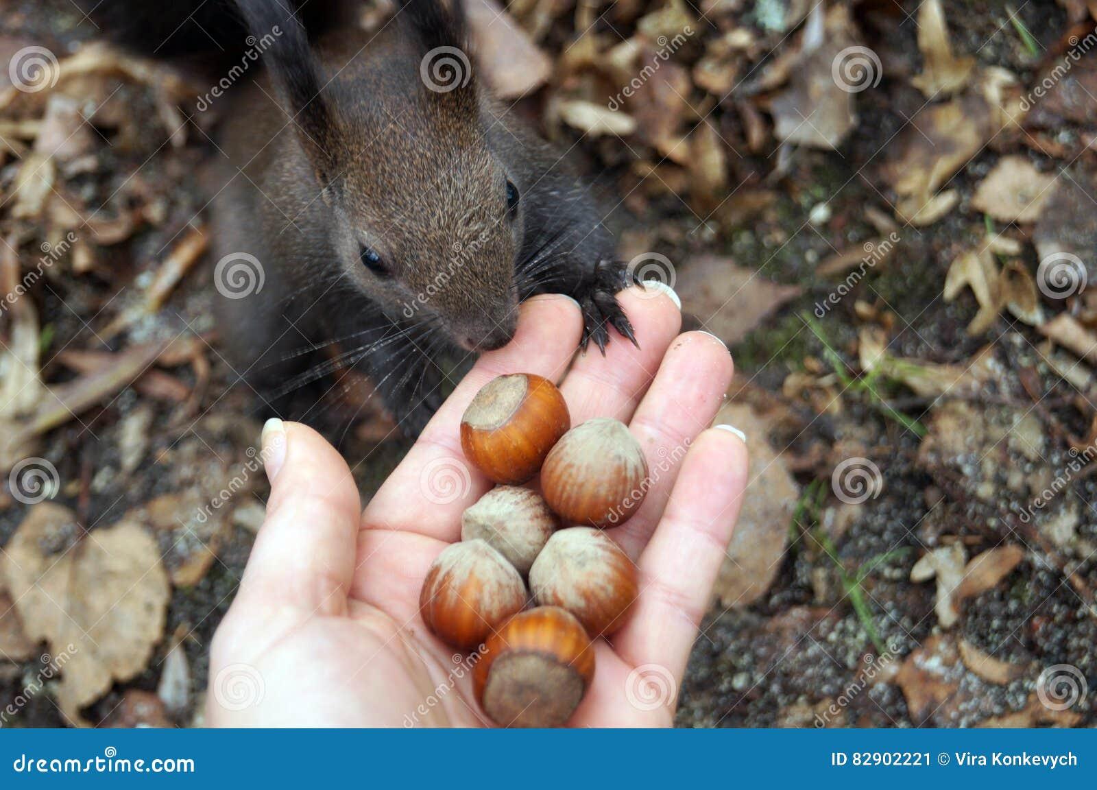 Σκίουρος με τη σκοτεινή γούνα και μια θαμνώδης ουρά που τρώει τα καρύδια