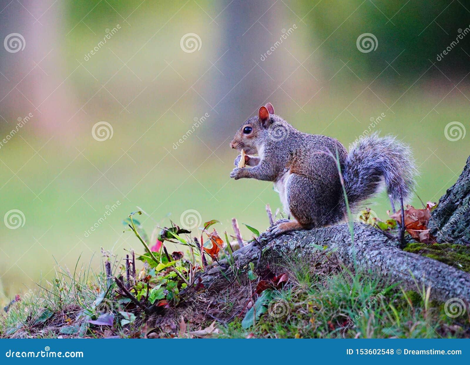Σκίουρος που έχει το πρόχειρο φαγητό