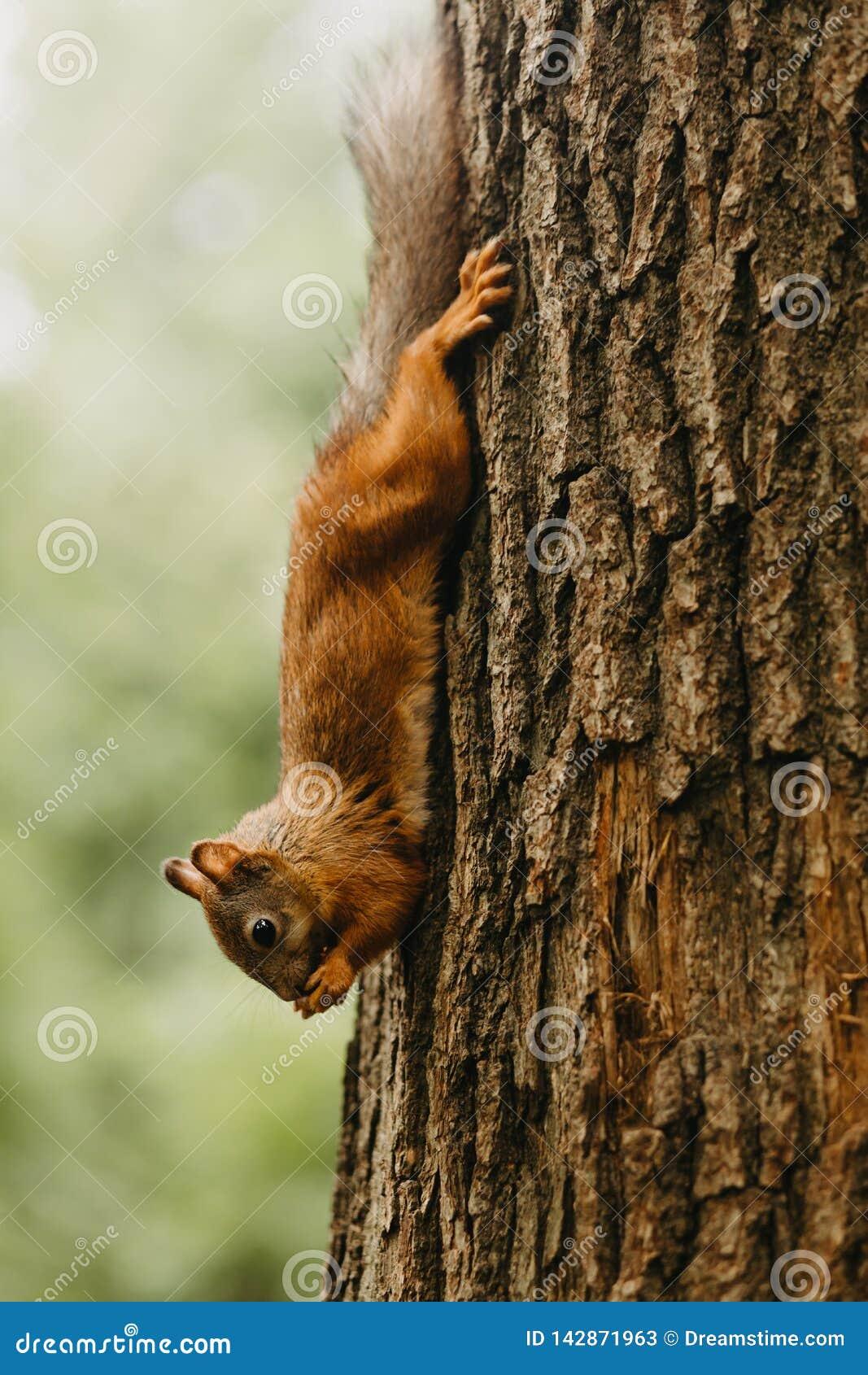 Σκίουρος σε ένα δέντρο που τρώει ένα καρύδι
