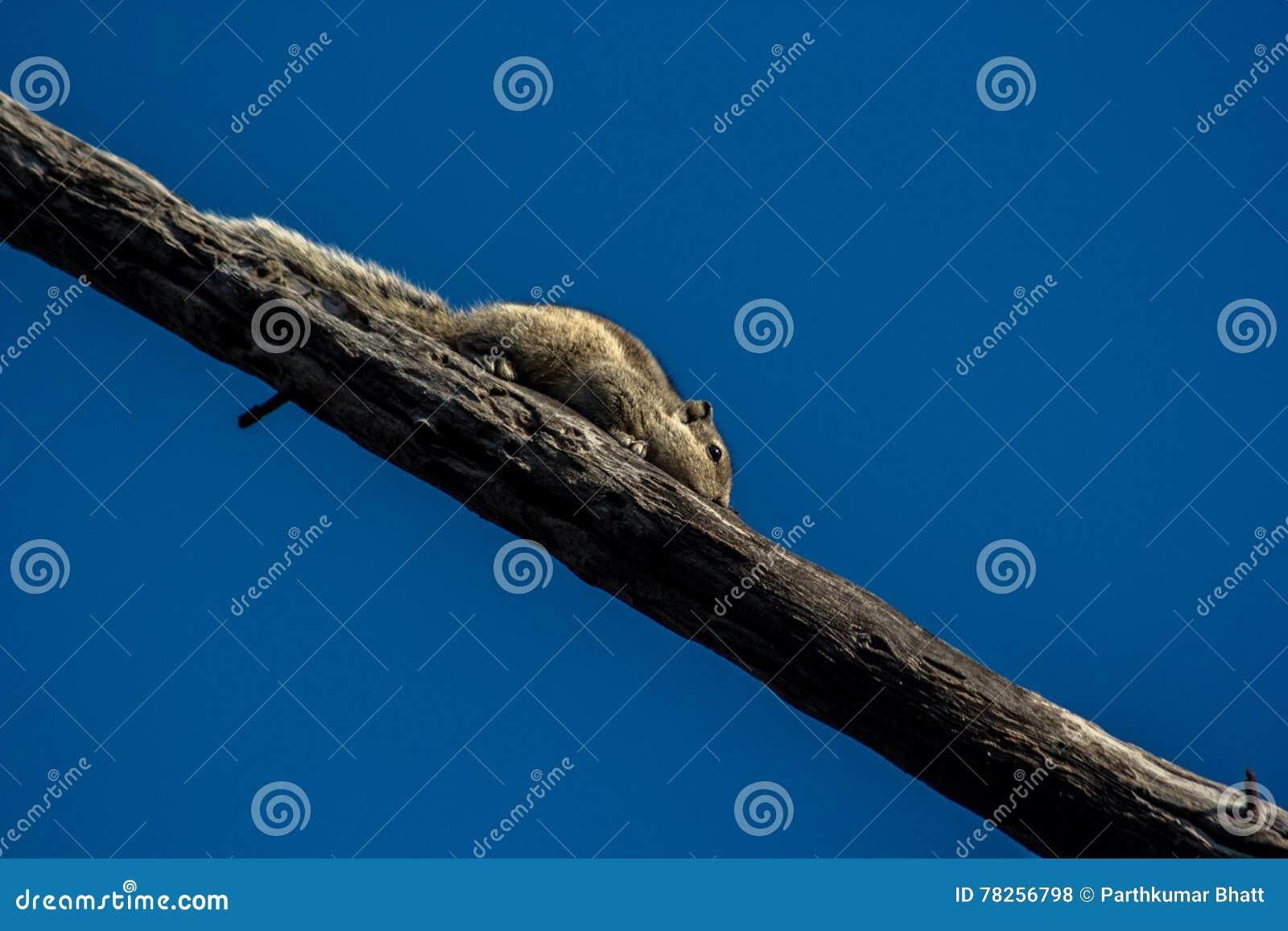 Σκίουρος σπιτιών στα ξύλα