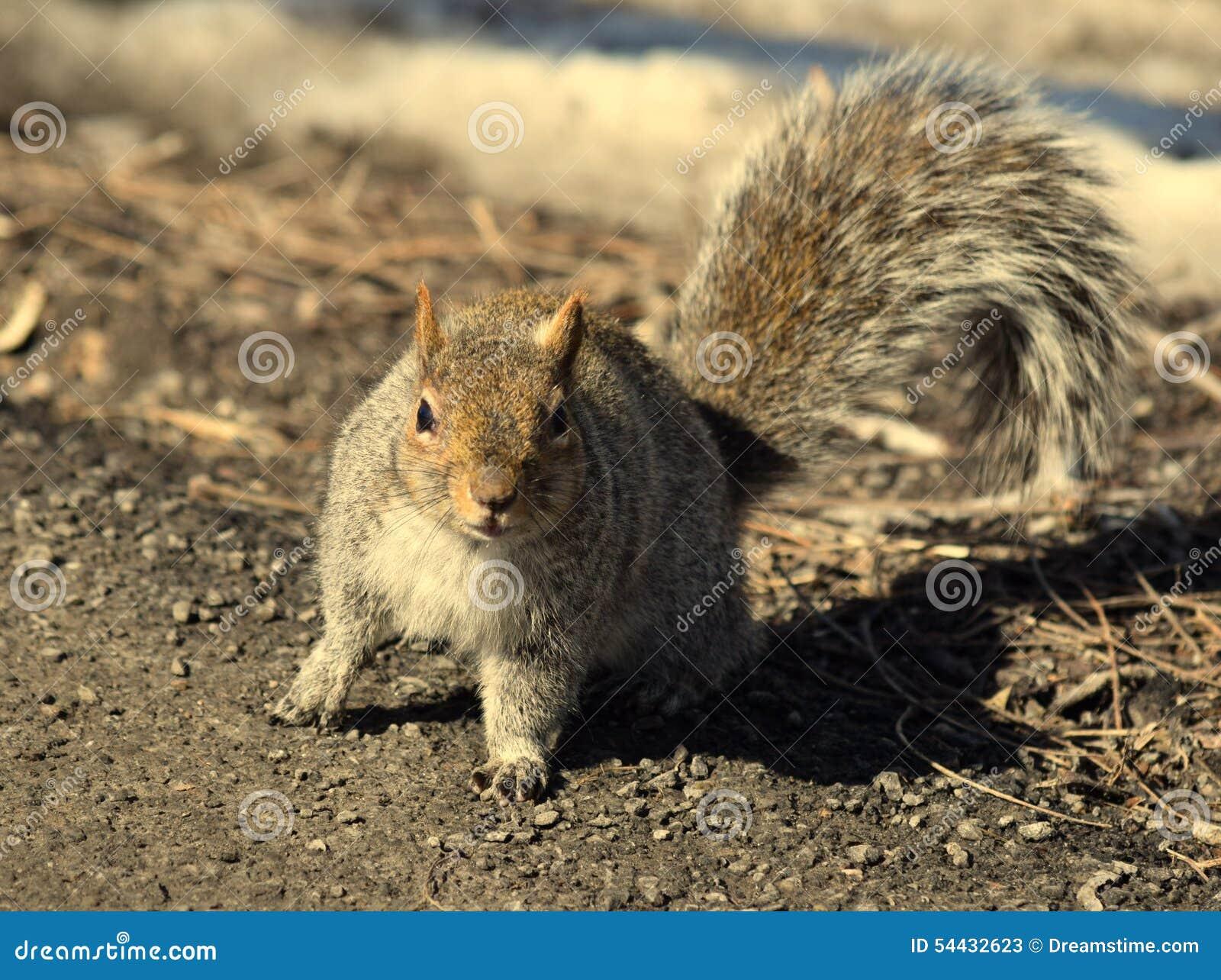 Σκίουρος στη φύση