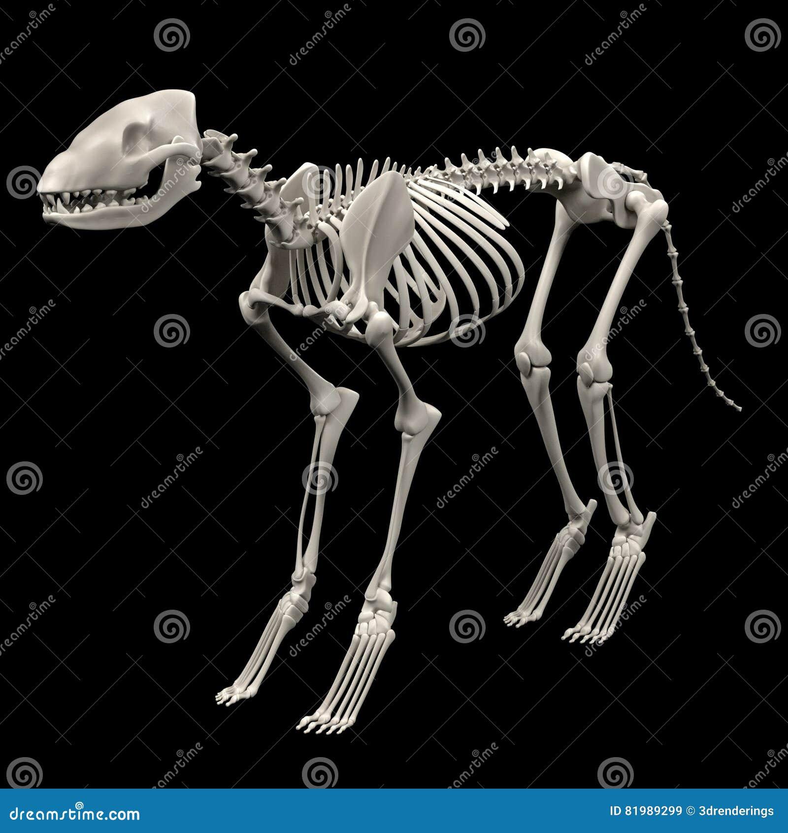 Σκελετός σκυλιών