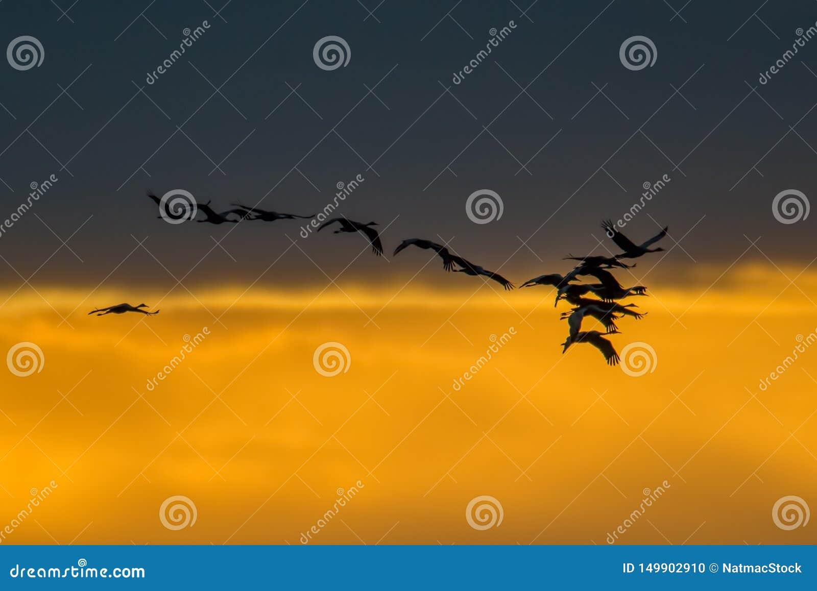 Σκιαγραφία γερανών Sandhill αναδρομικά φωτισμένη κατά την πτήση με το χρυσό κίτρινο και πορτοκαλή ουρανό και σύννεφα στο σούρουπο