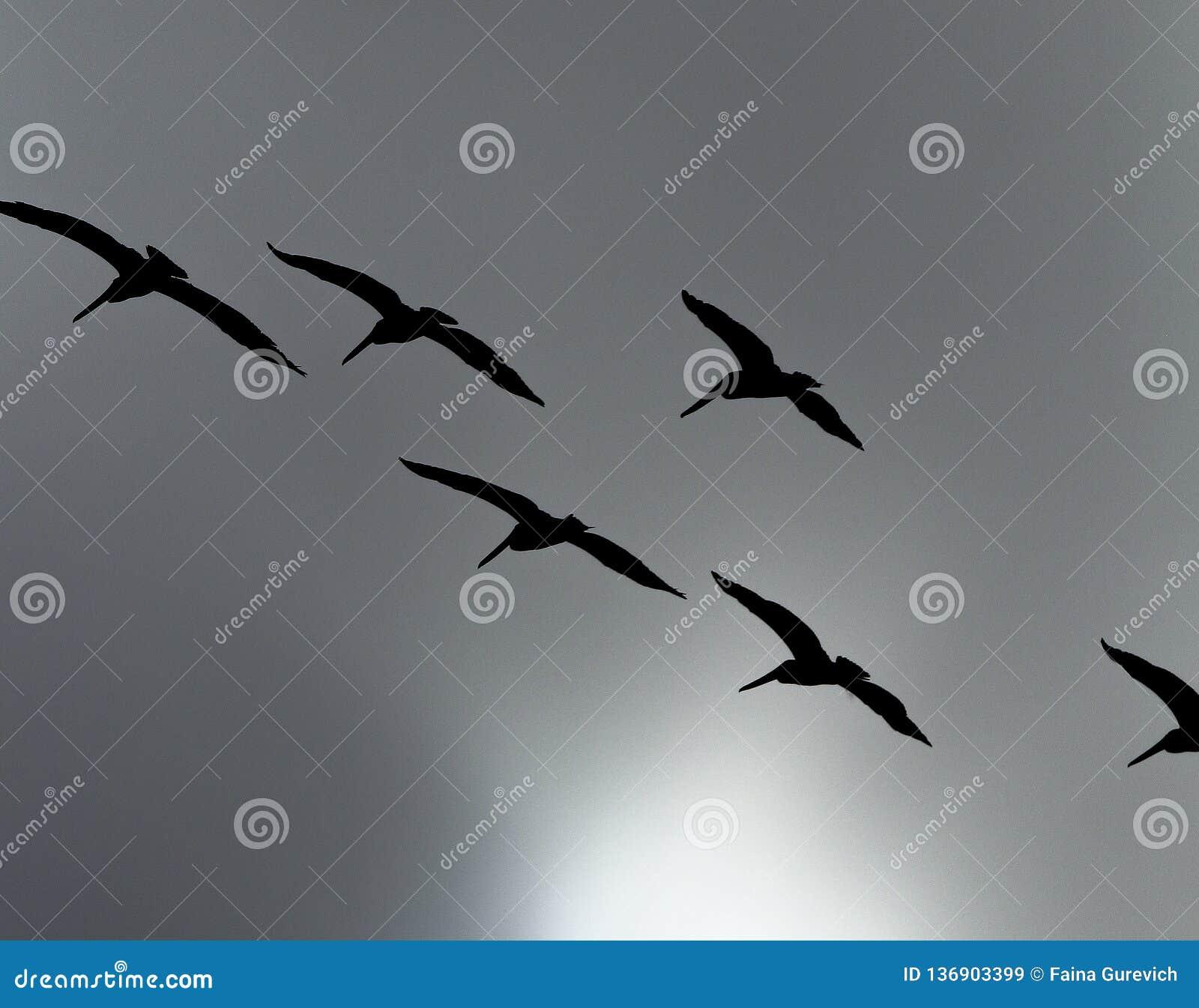 Σκιαγραφία ενός κοπαδιού των καφετιών πελεκάνων που πετούν πέρα από τον γκρίζο θυελλώδη ουρανό