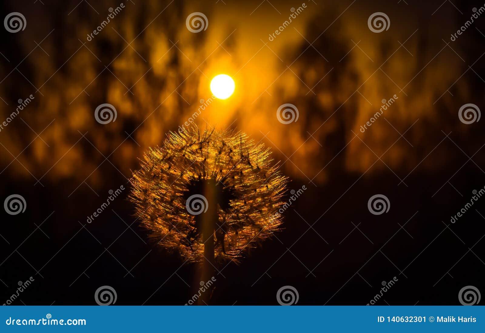 Σκιαγραφία μιας πικραλίδας Ηλιοβασίλεμα πίσω από τη λαμπρή πικραλίδα