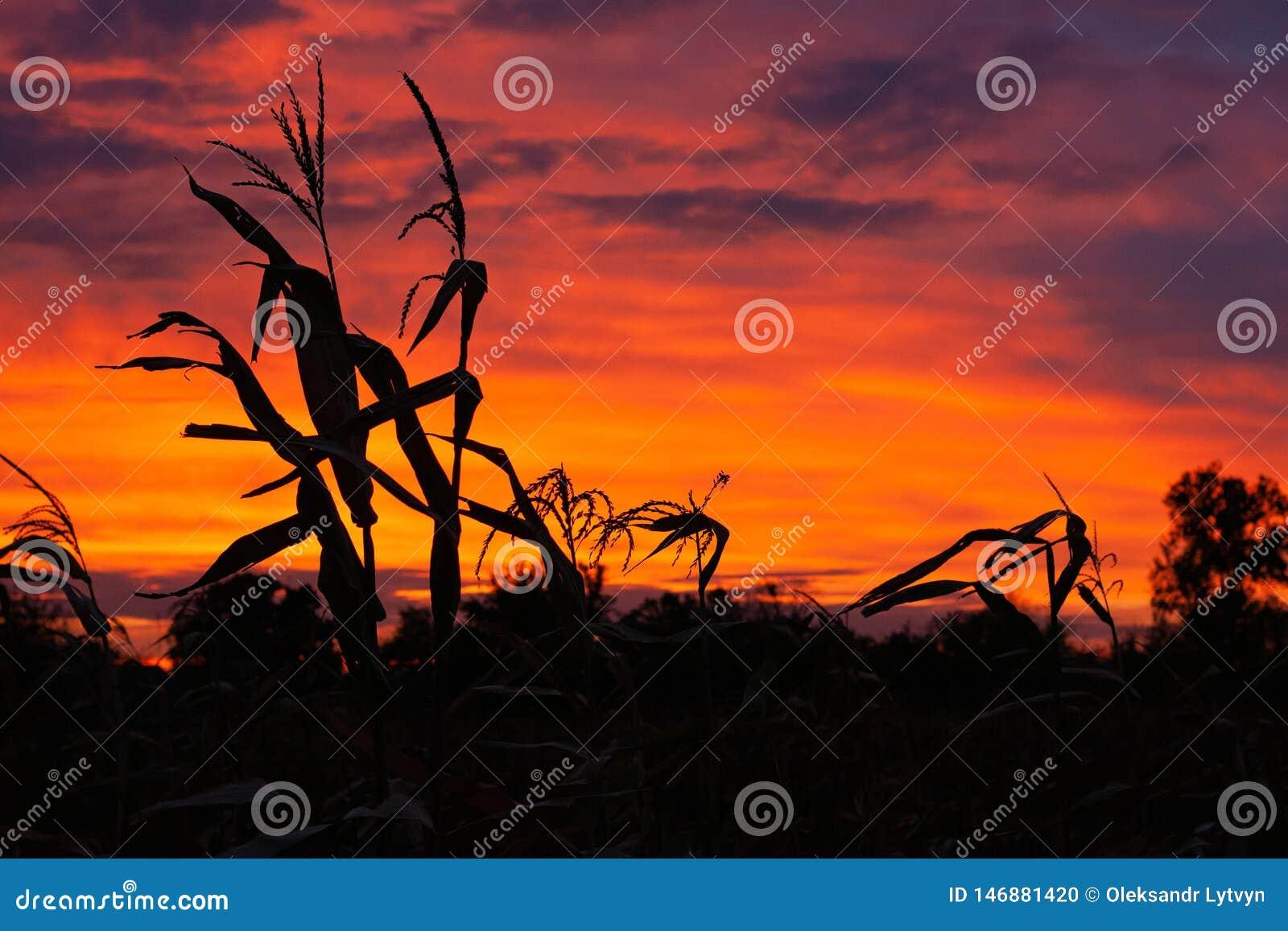 Σκιαγραφίες του καλαμποκιού στο υπόβαθρο ενός όμορφου ουρανού ηλιοβασιλέματος