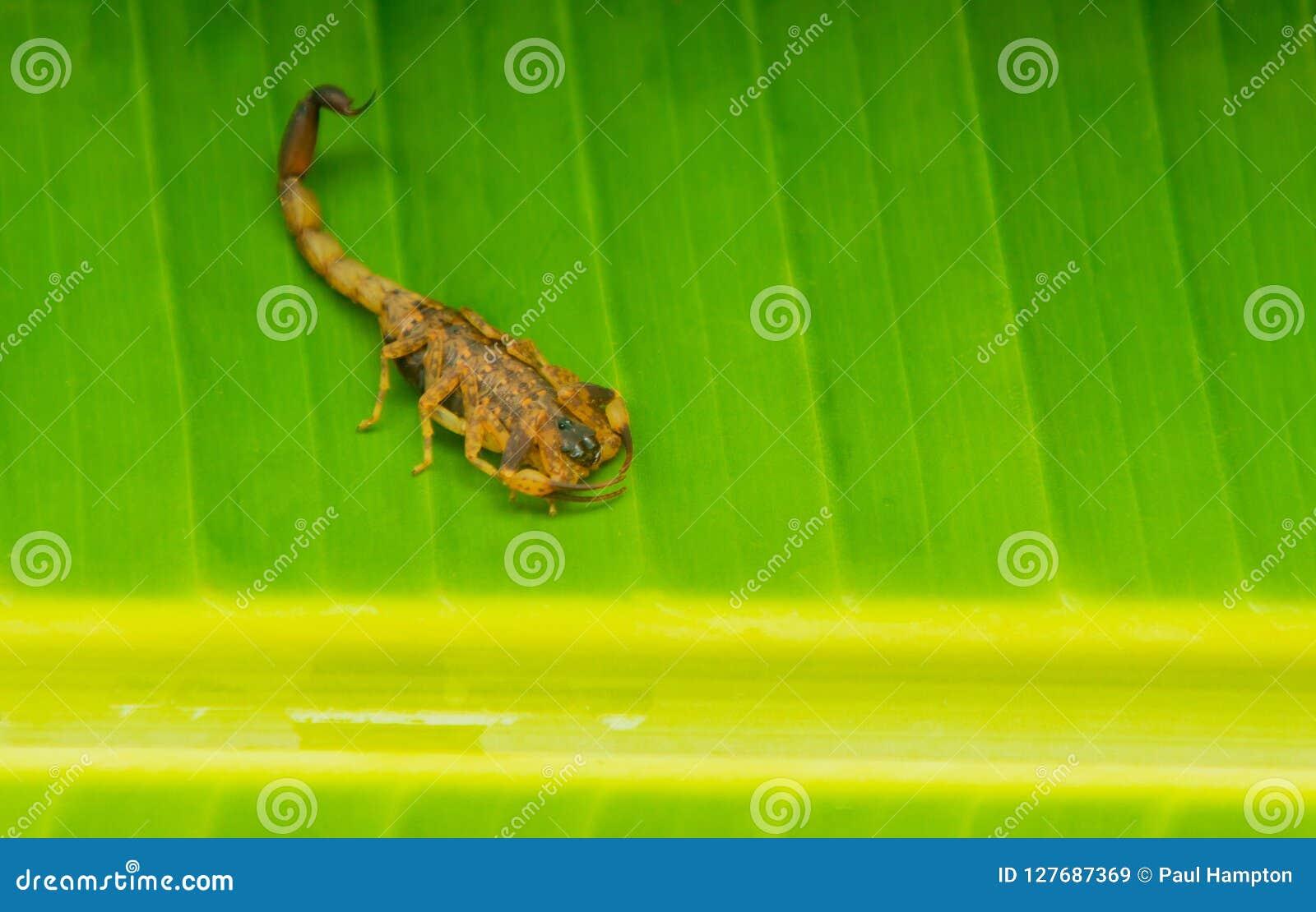 Σκορπιών πράσινο υπόβαθρο σκορπιών Tityus Smithii κίτρινο
