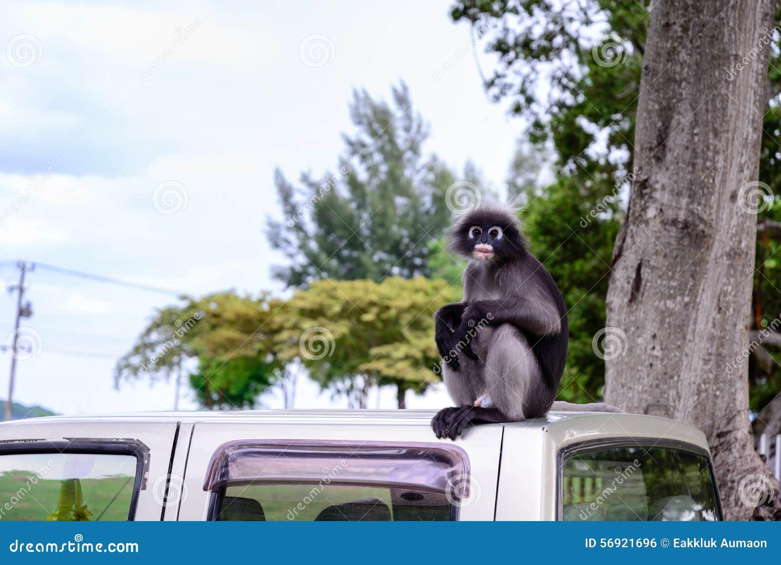 Σκοτεινός πίθηκος φύλλων, σκοτεινό langur, με γυαλιά langur