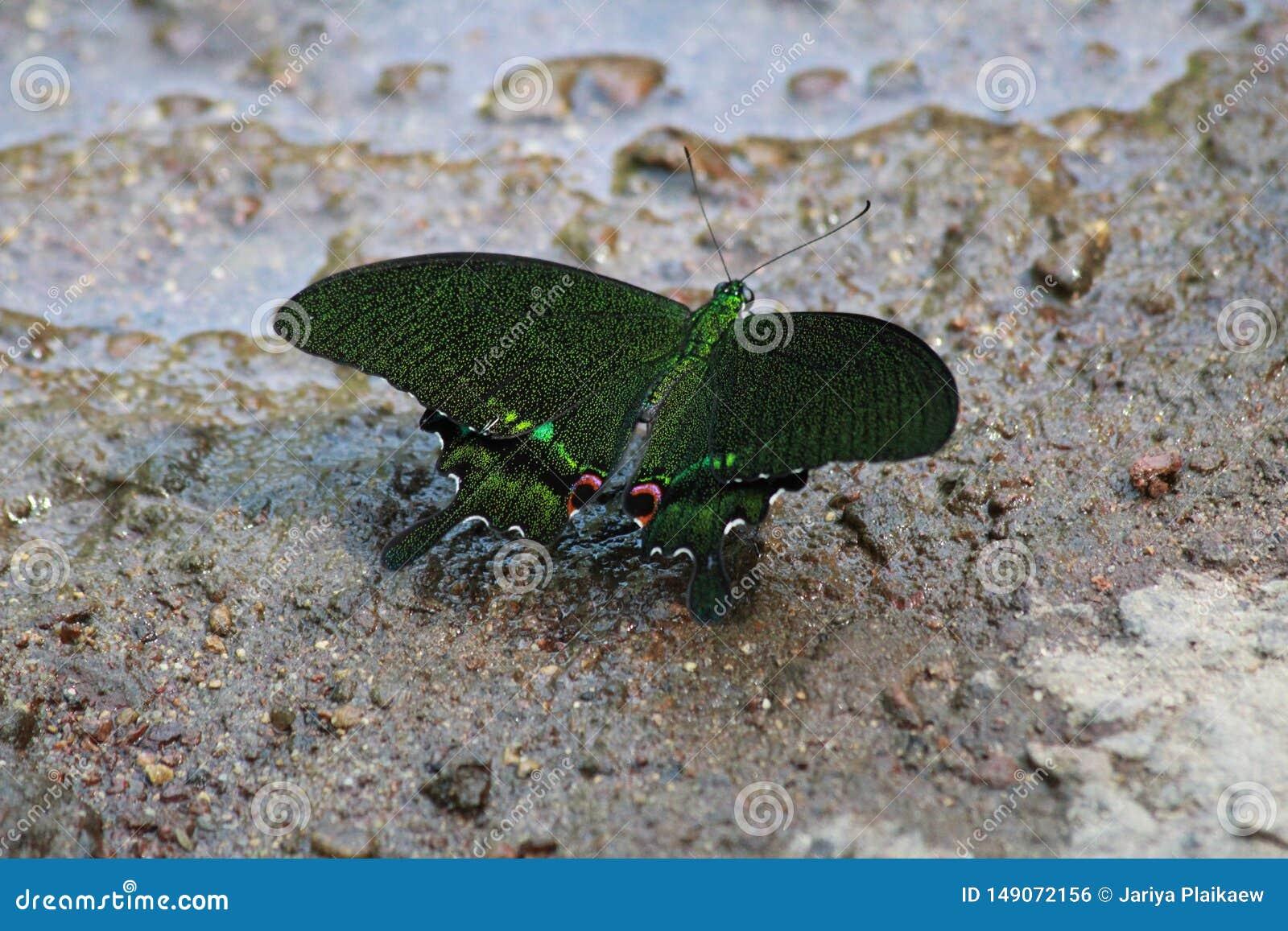 Σκούρο πράσινο πεταλούδα στην άμμο