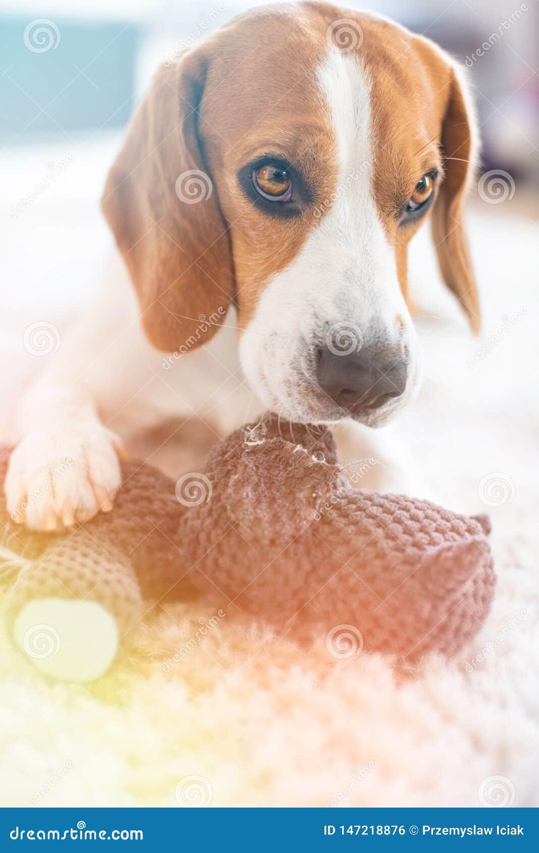 Σκυλί λαγωνικών με ένα παιχνίδι στο δαγκώνοντας και σχίζοντας παιχνίδι πατωμάτων χώρια
