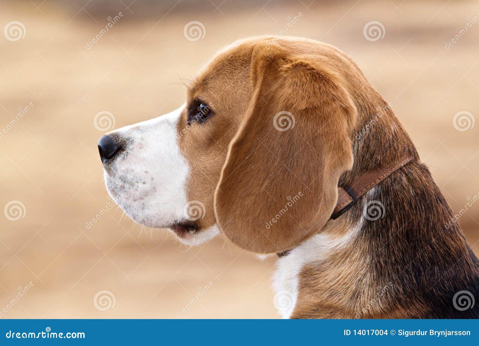 σκυλί λαγωνικών