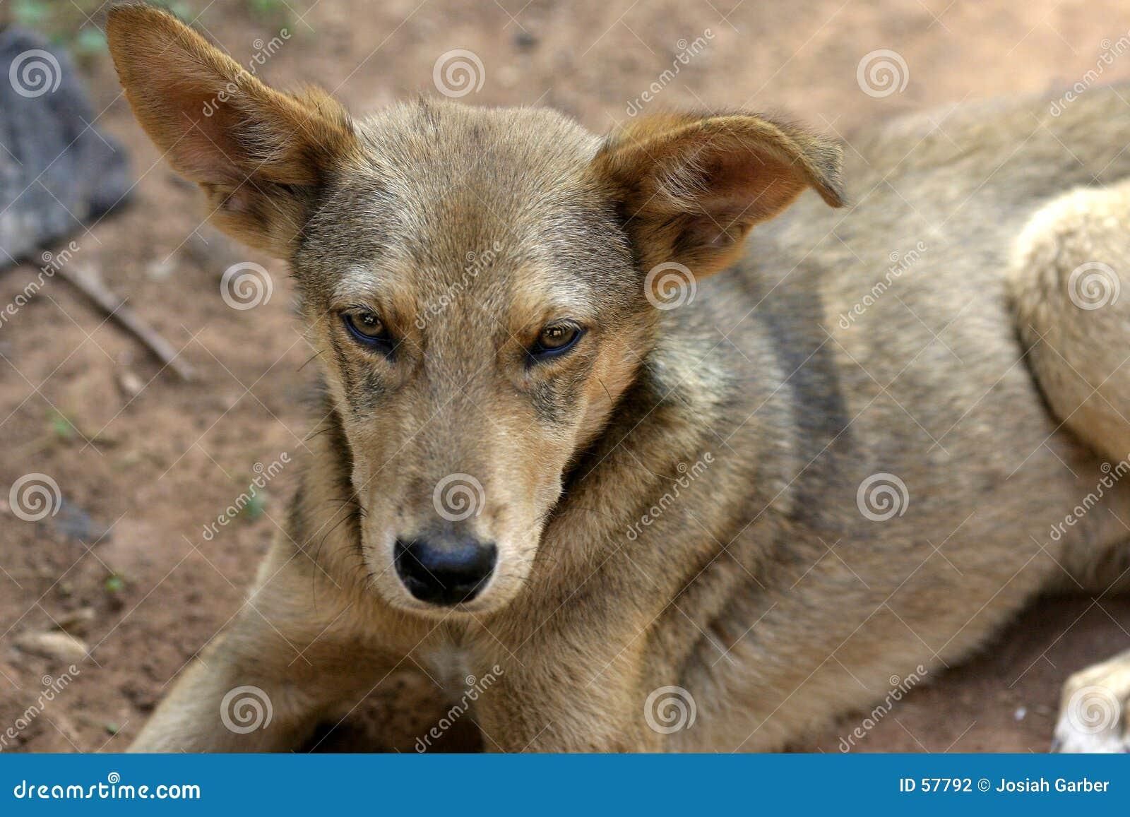Download σκυλί περιπλανώμενο στοκ εικόνες. εικόνα από γούνα, σκυλί - 57792