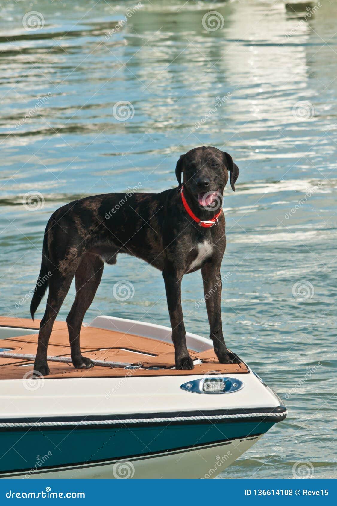 Σκυλί που στέκεται στο τόξο ενός powerboat σε μια τροπική μαρίνα