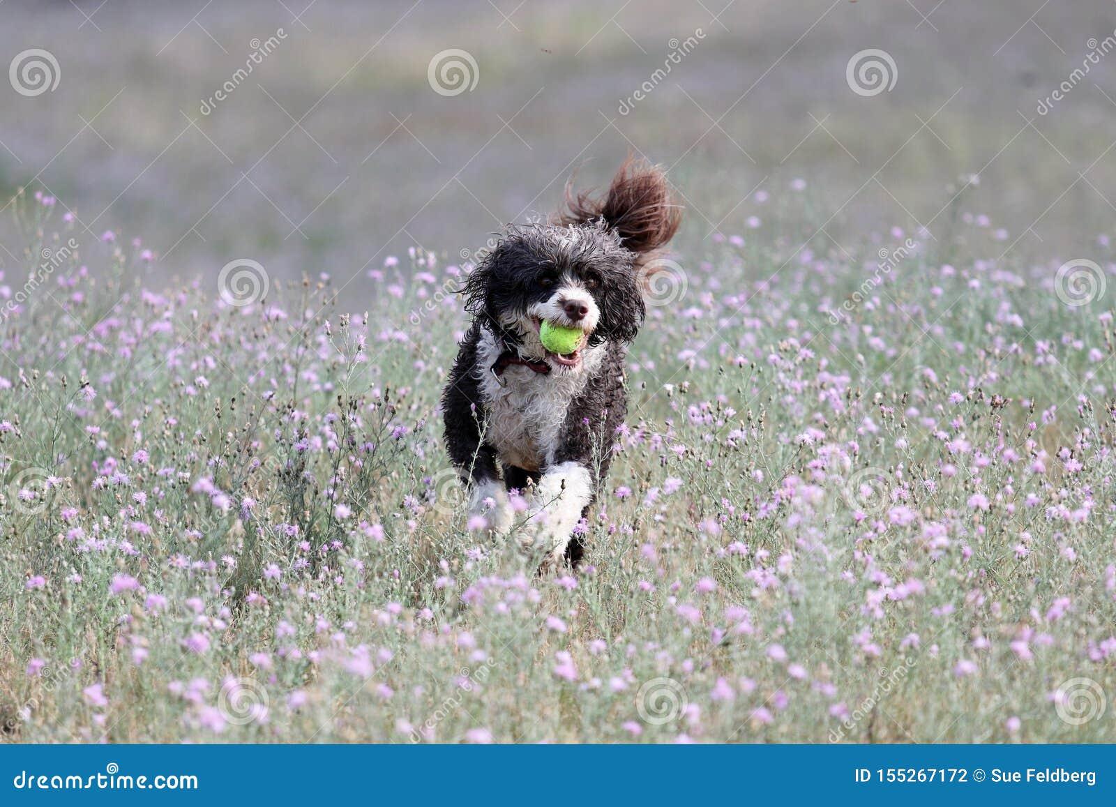 Σκυλί που τρέχει μέσω των θερινών λουλουδιών με μια σφαίρα