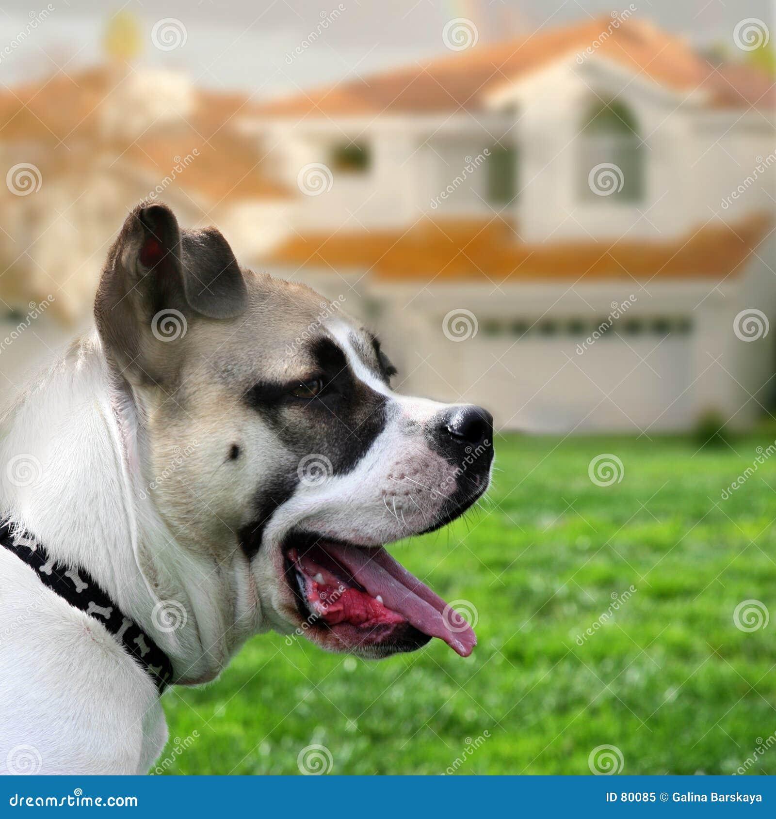 σκυλί που φρουρεί το σπίτι