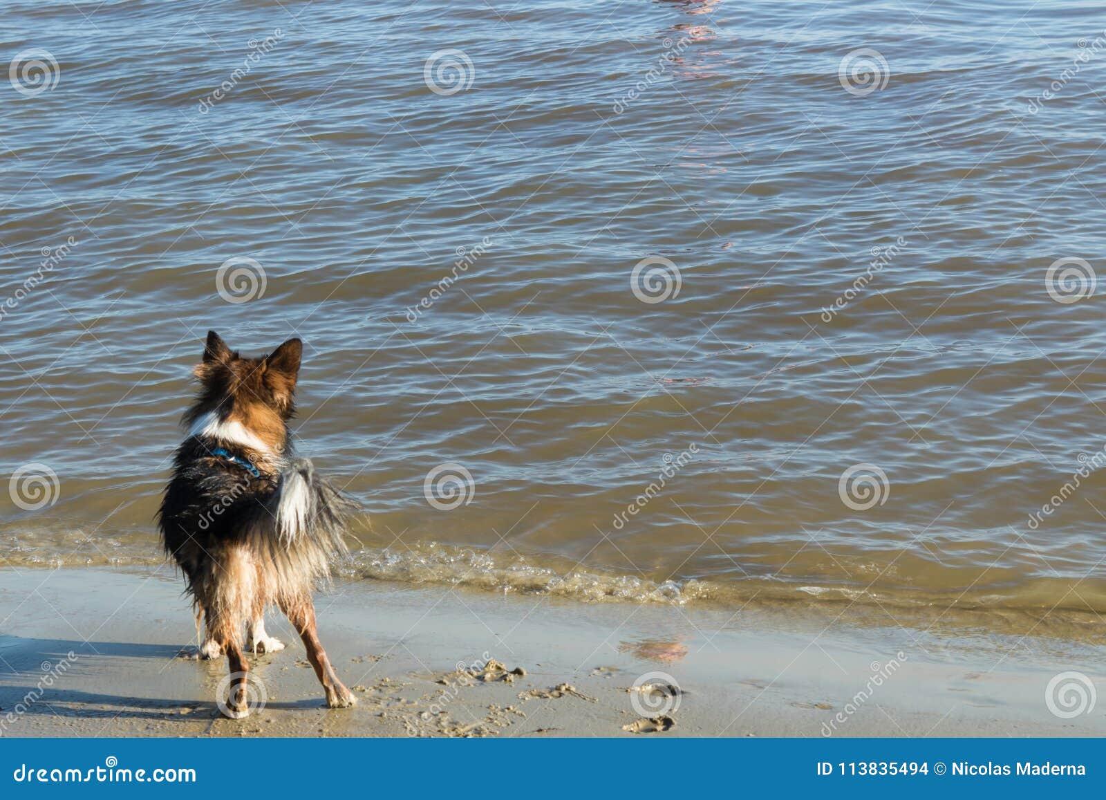 Σκυλί στην παραλία που κοιτάζει στη θάλασσα στην Ουρουγουάη