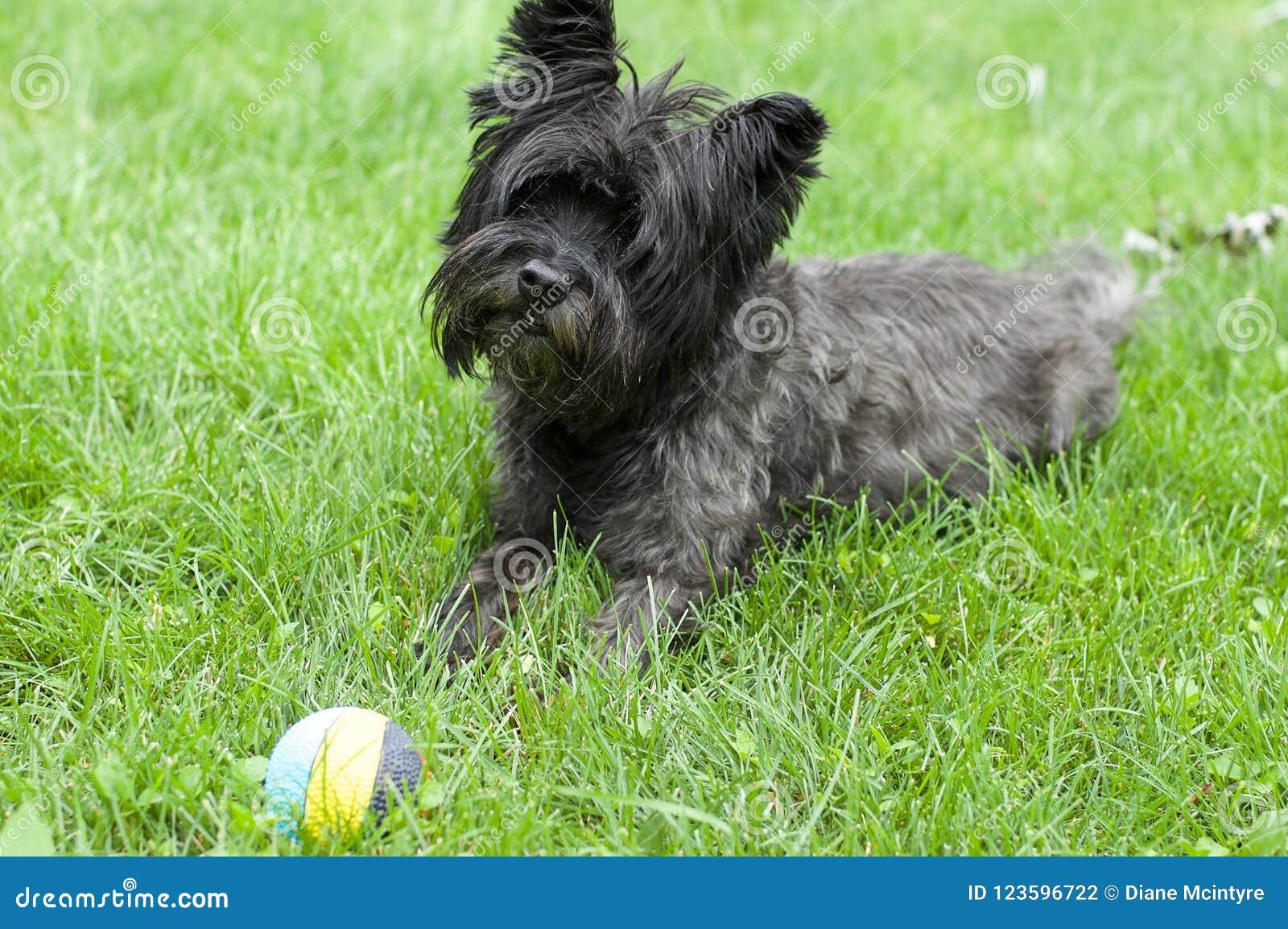 Σκυλί τεριέ τύμβων