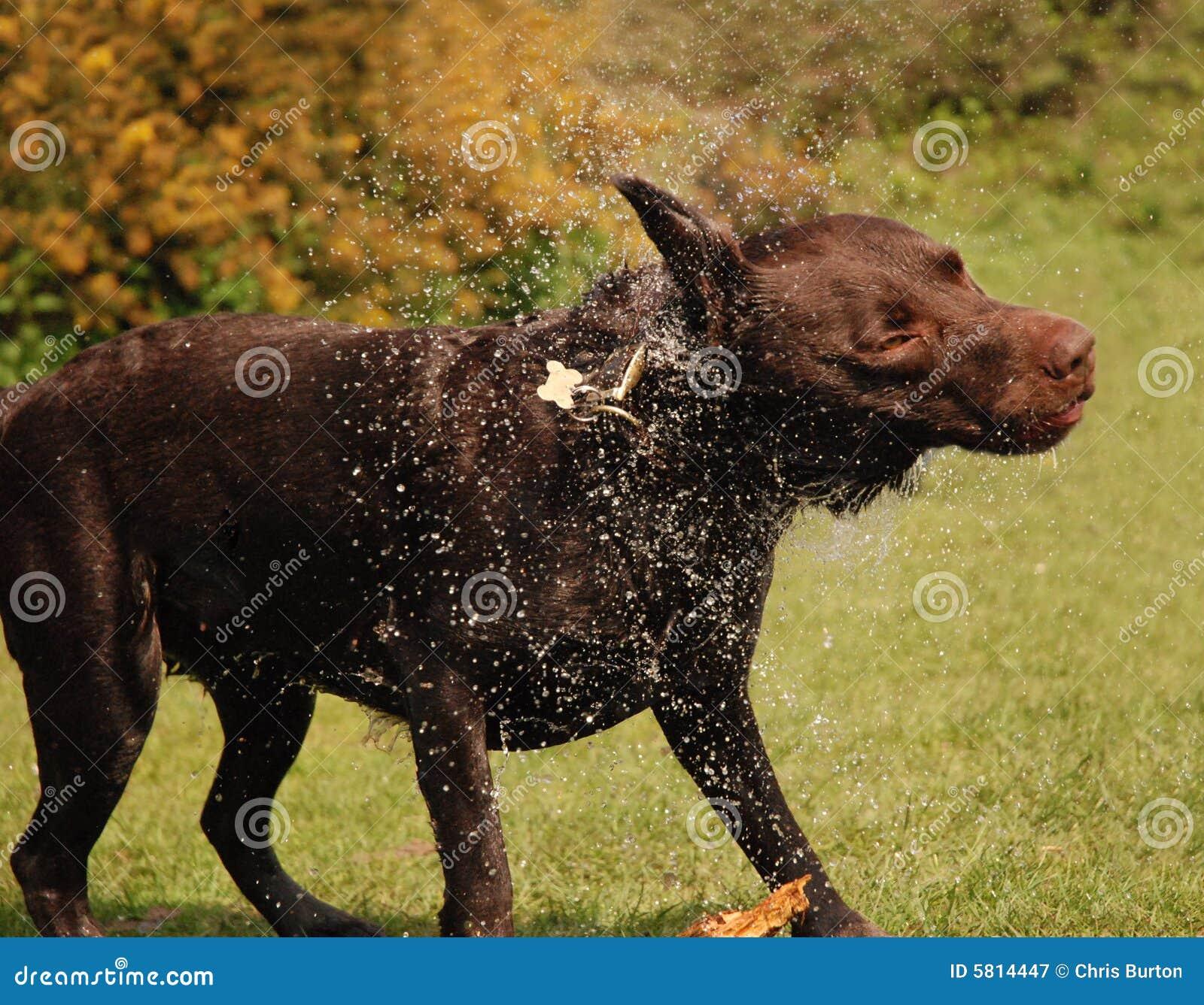 σκυλί υγρό