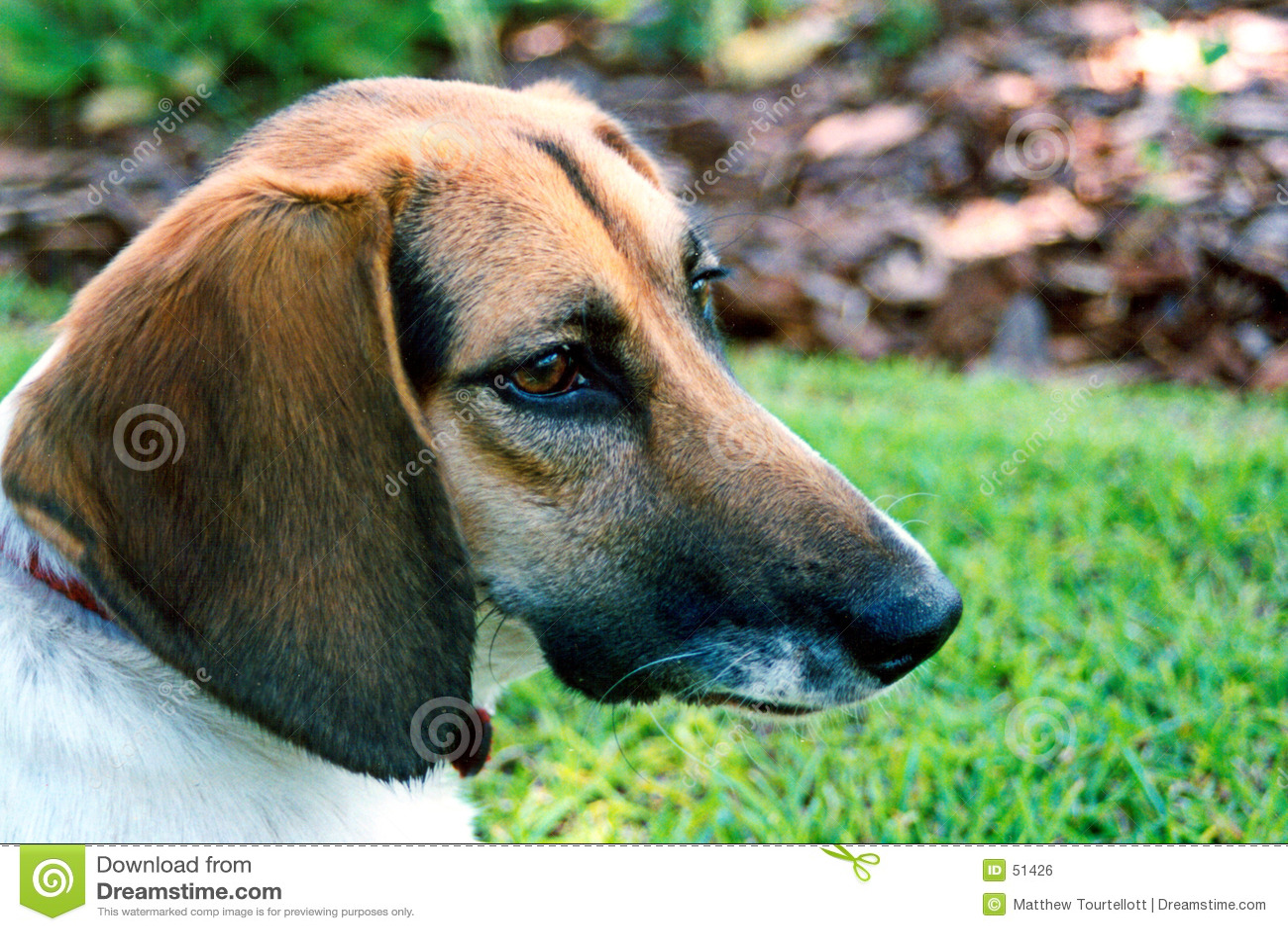σκυλί χρώματος