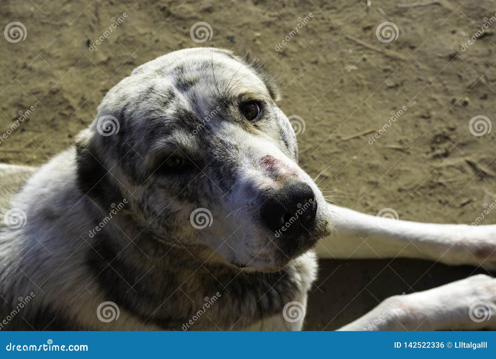 Σκυλί Alabai Το σκυλί είναι ποιμένας καλός κοιτάξτε