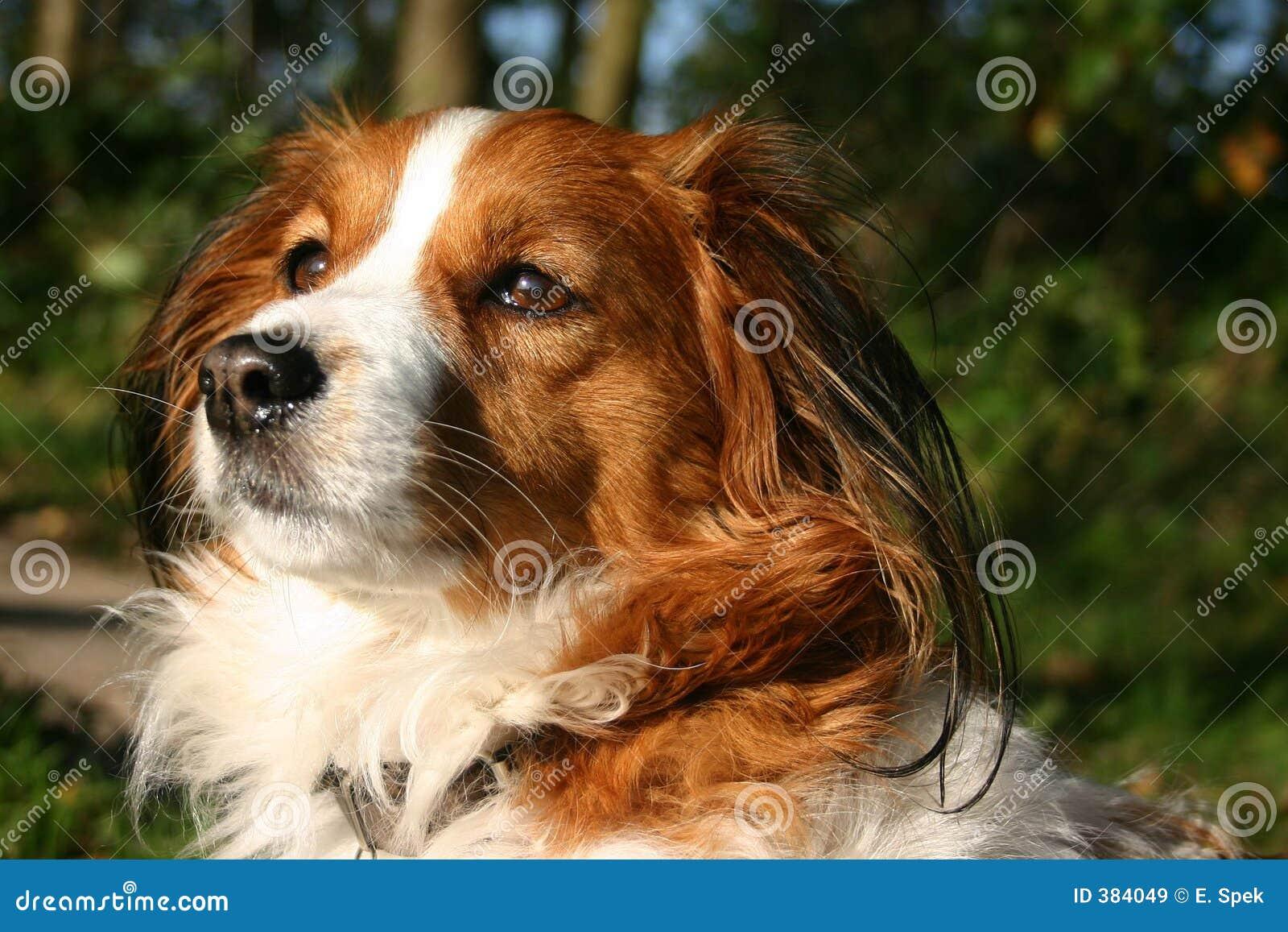 σκυλί kooijker που κάτι