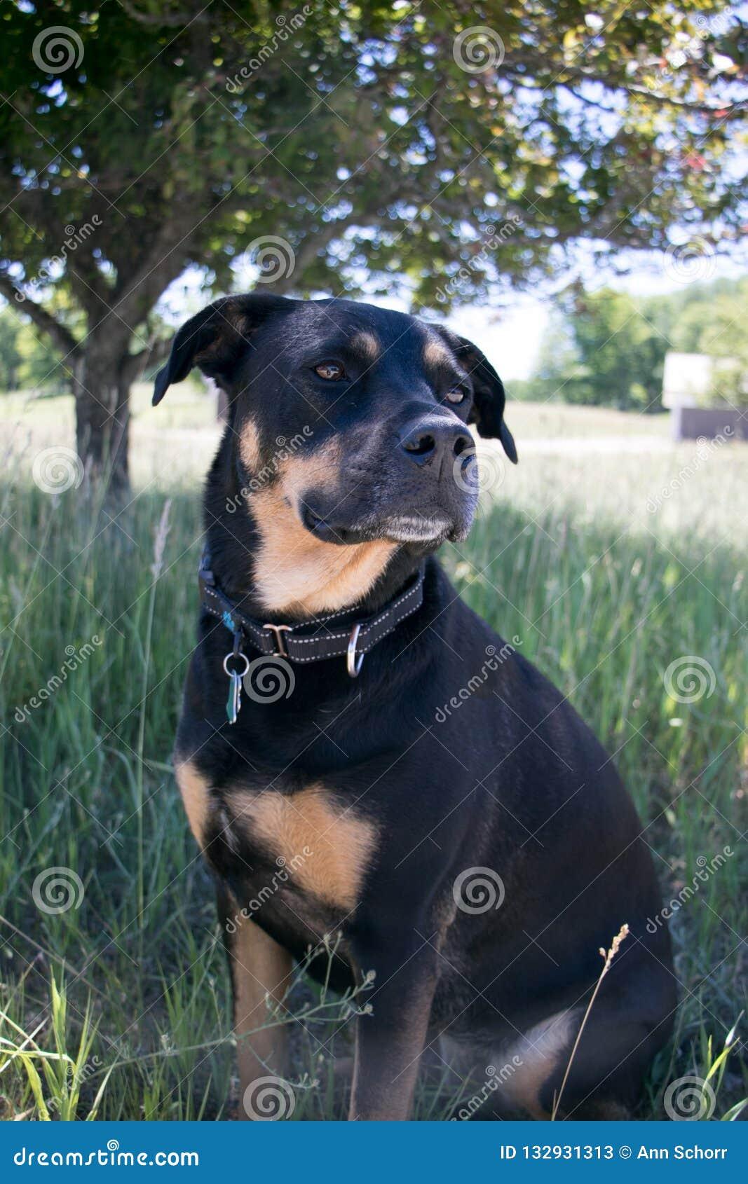 Σκυλί Rottweiler μέσα