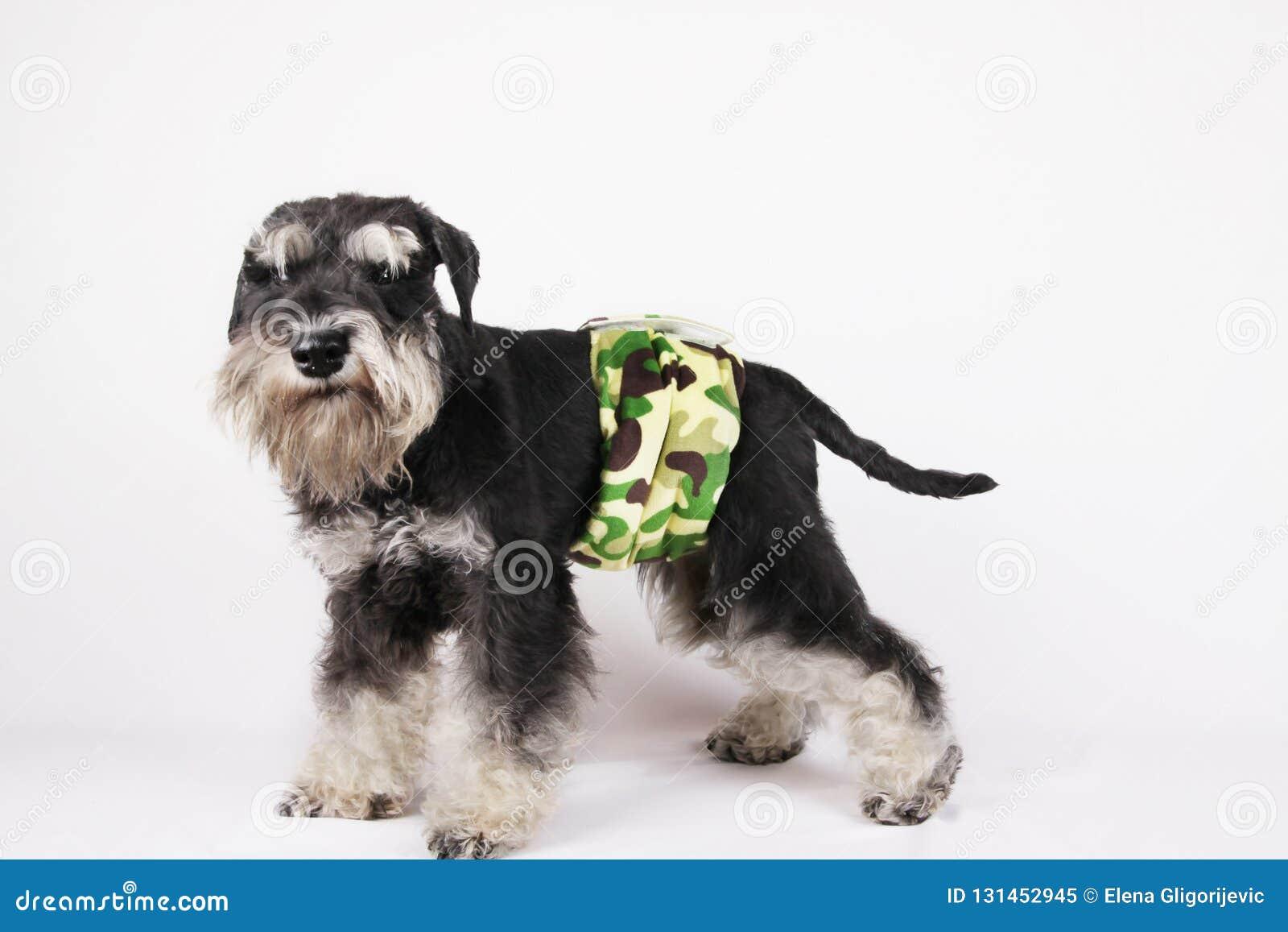 Σκυλί Schnauzer κουταβιών στην πάνα κατουρήματος που εξασφαλίζεται γύρω από τη μέση του για να τον κρατήσει από την ούρηση στο σπ