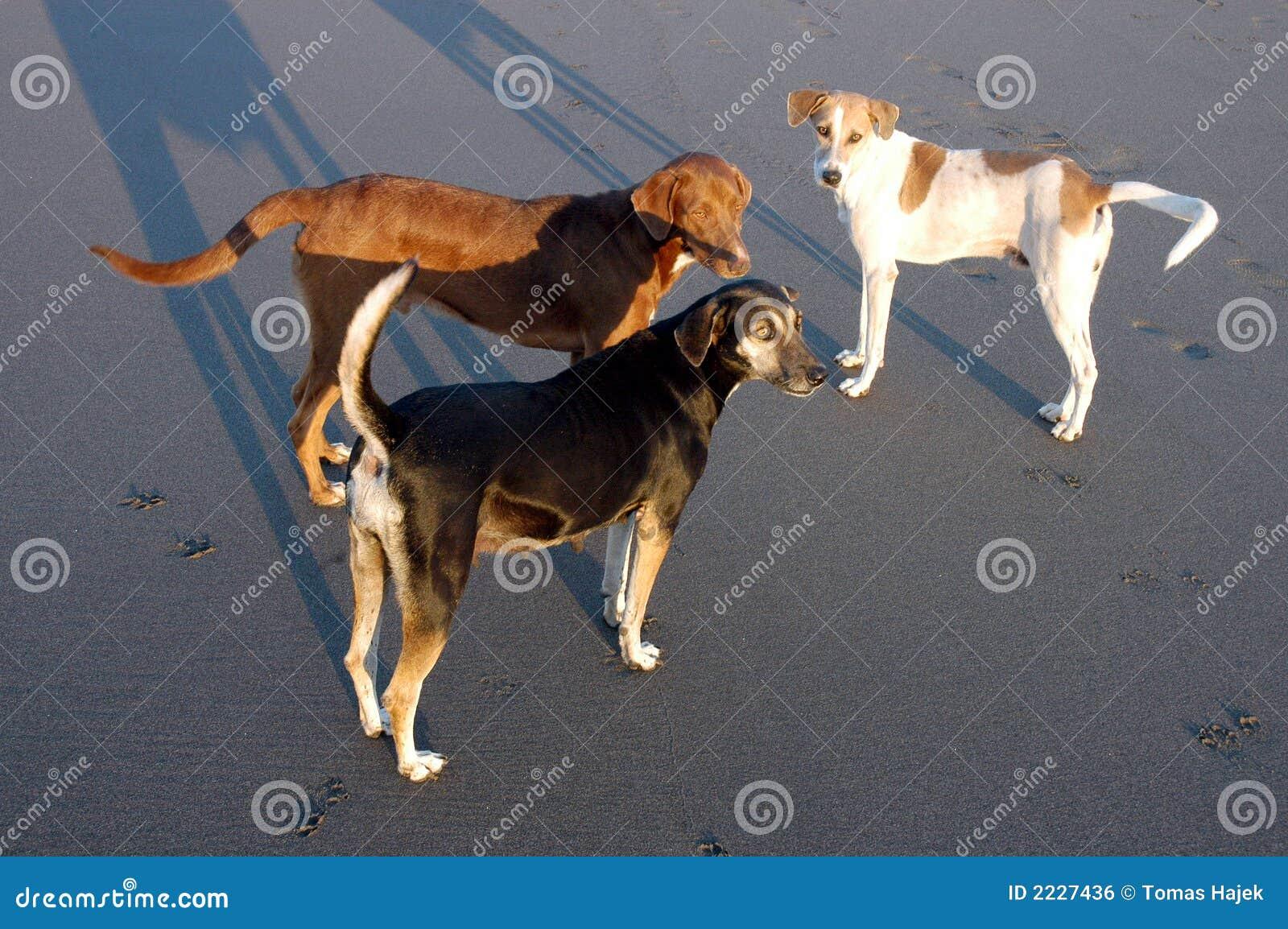 σκυλιά Μεξικό τρία