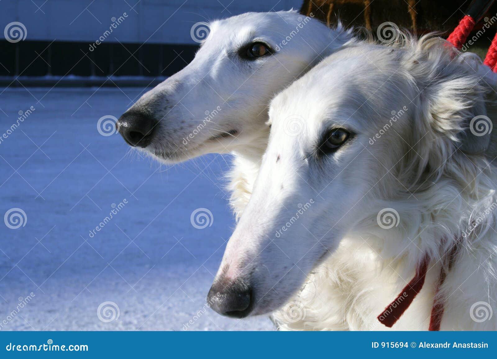 σκυλιά borzoi