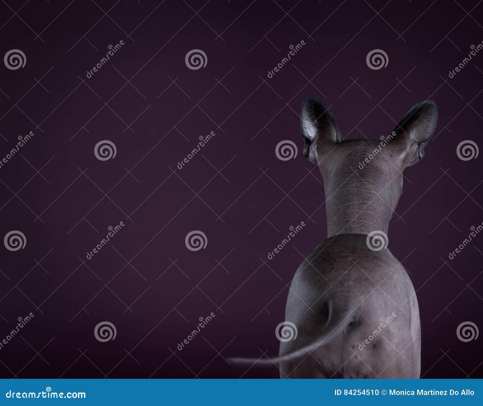 σκυλί άτριχος μεξικανός