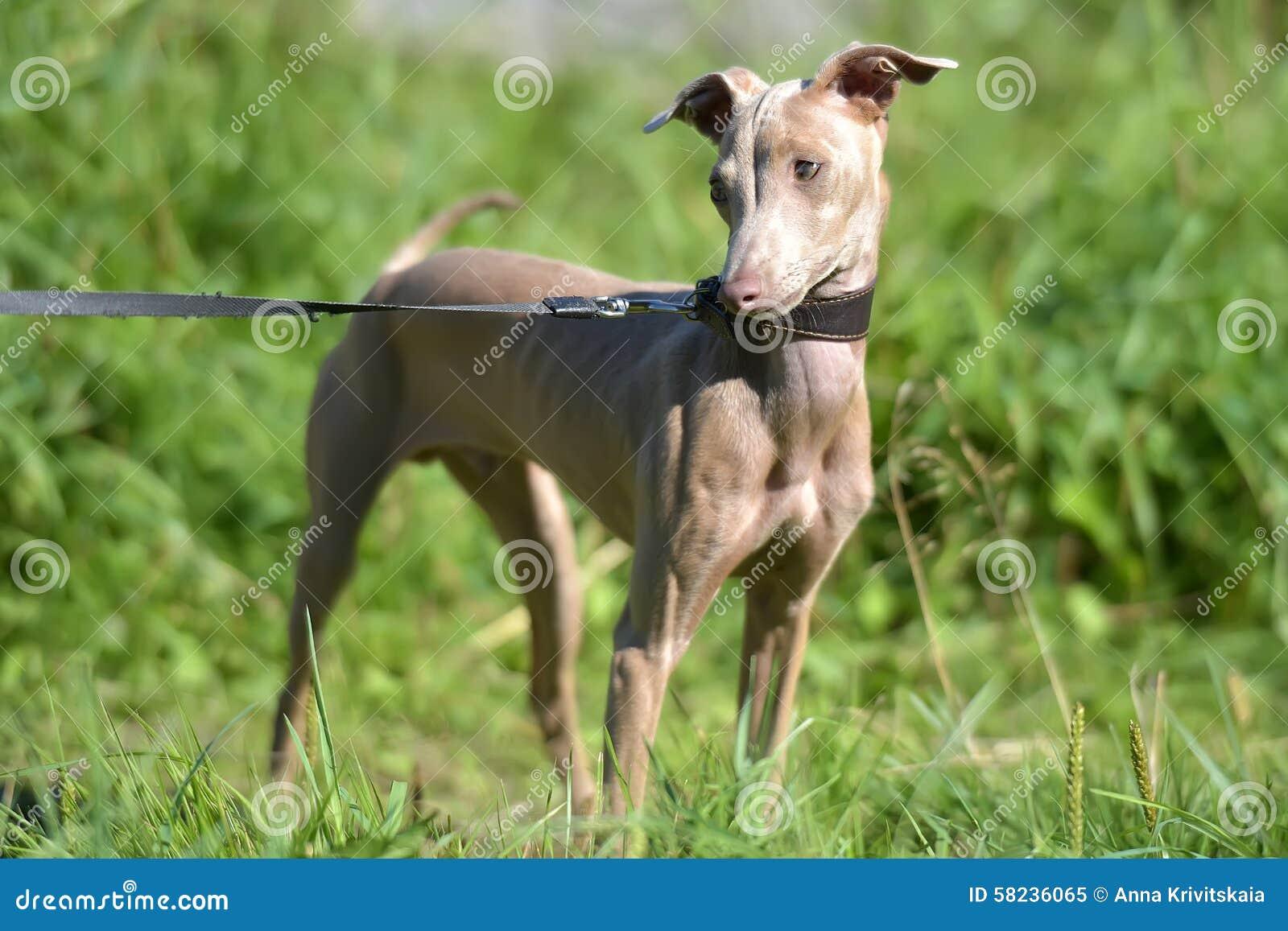 σκυλί άτριχος περουβια&n
