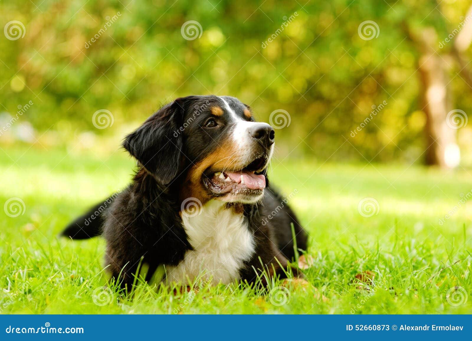 Σκυλί βουνών Bernese που βρίσκεται στη χλόη