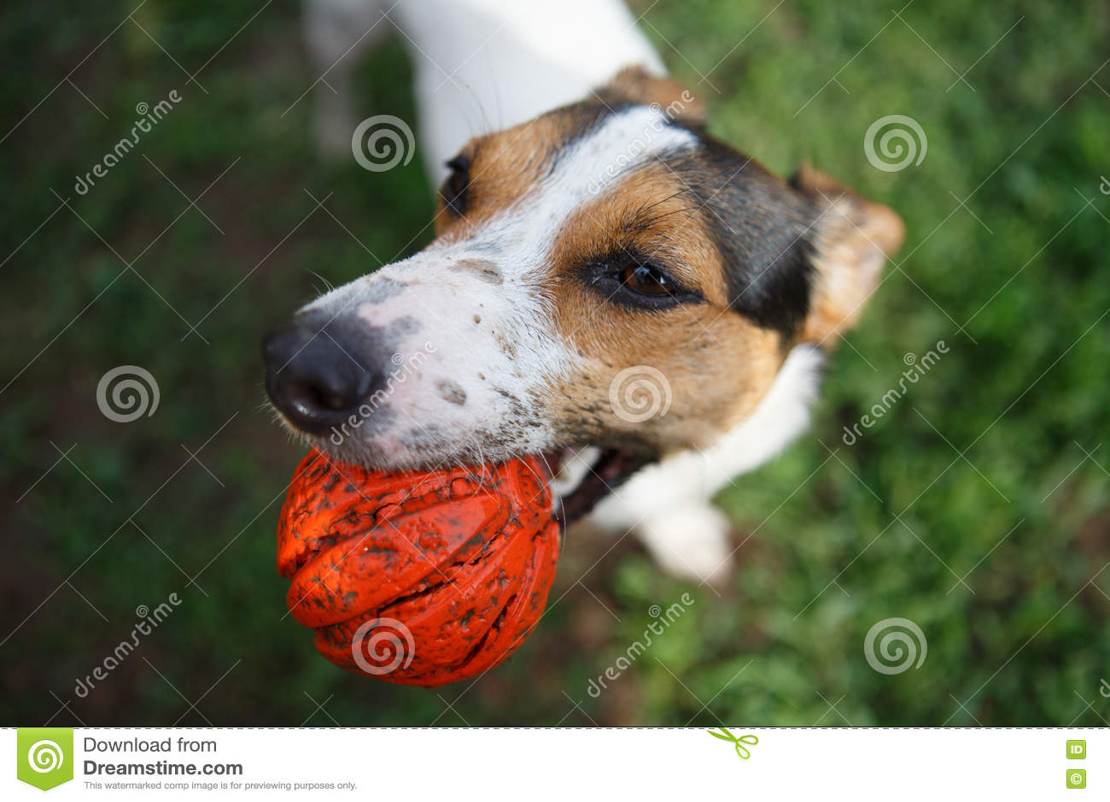 Σκυλί με τη σφαίρα στο στόμα